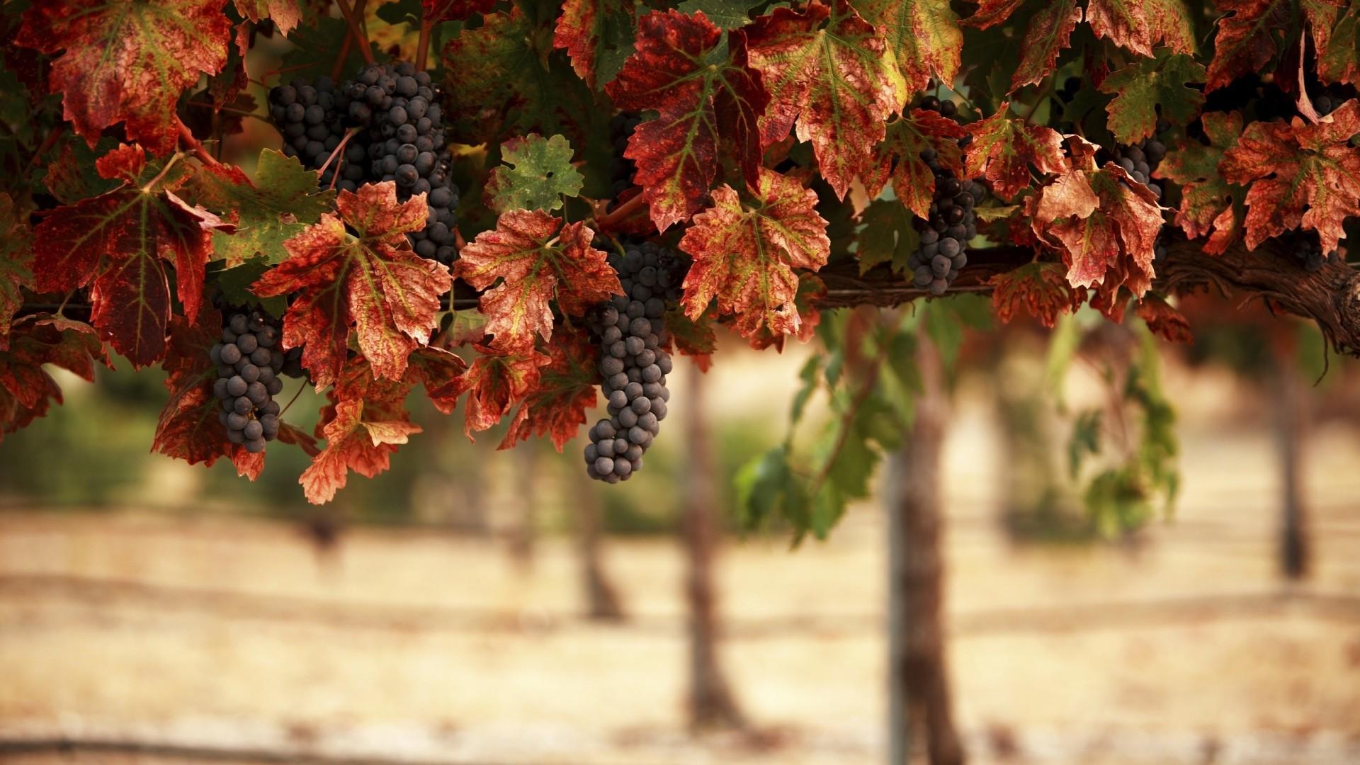 … Background Full HD 1080p. Wallpaper nature, leaves, blur,  vineyard, grapes, landscape