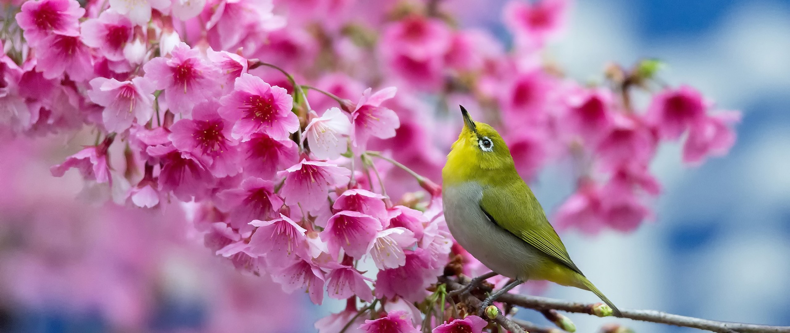 Preview wallpaper spring, cherry, branch, flowers, beauty, japanese  white-eye