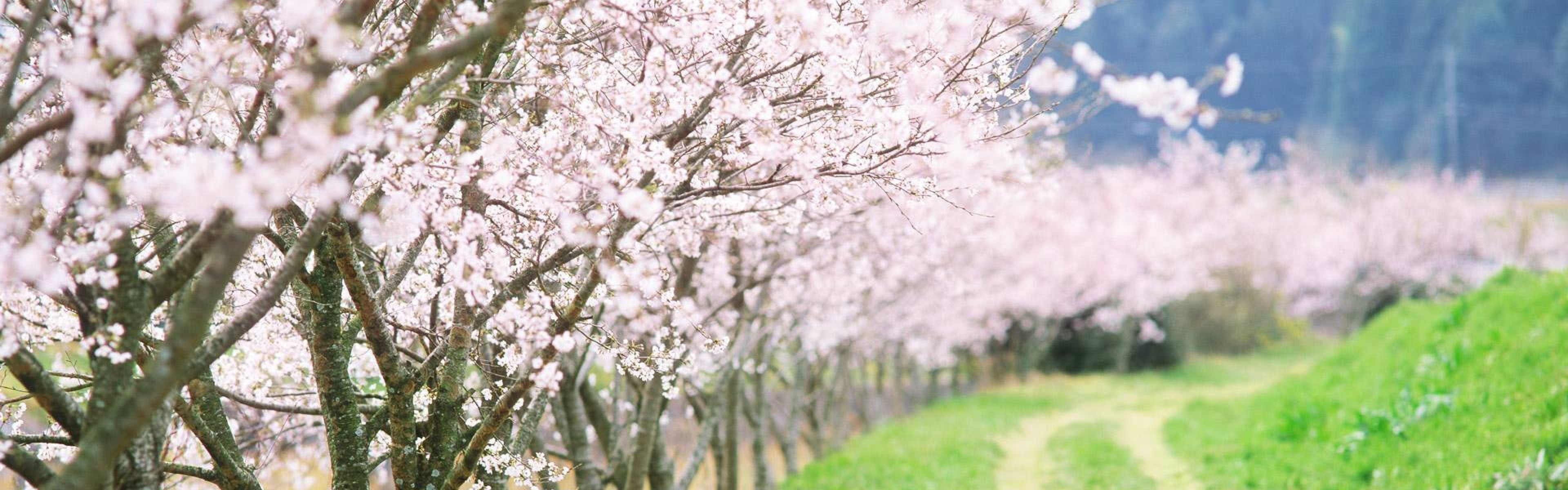Preview wallpaper spring, trees, flowering, garden, road, country 3840×1200