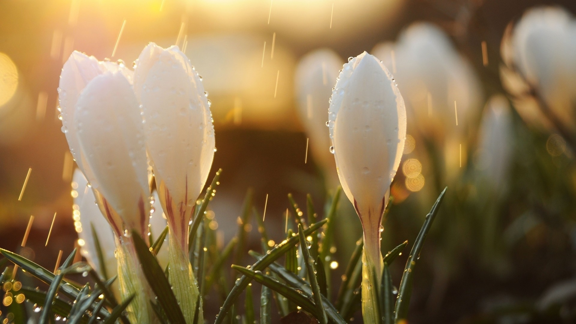 Preview wallpaper spring, snowdrops, flowers, buds, drops, sun, glare  1920×1080