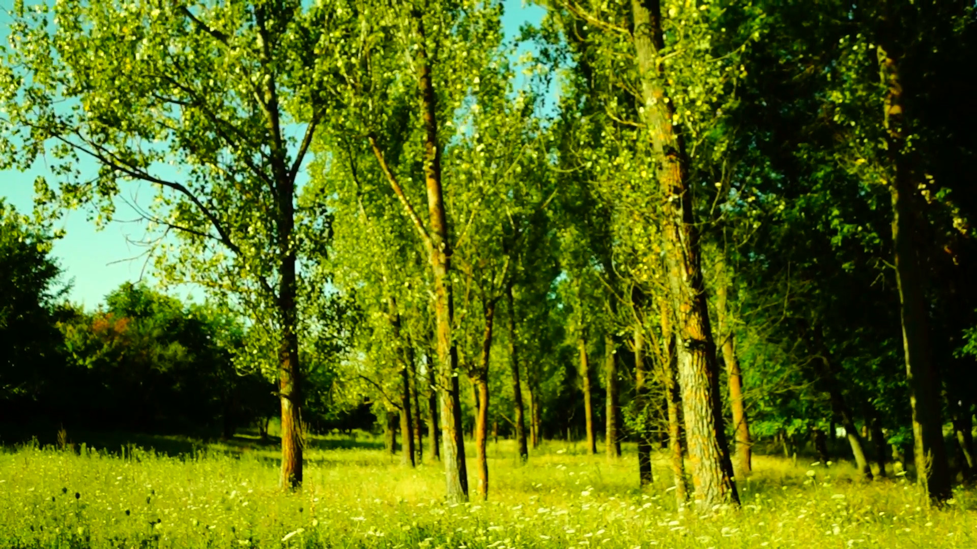 Grove,woods forest, trees background, green nature landscape,august, pan  Stock Video Footage – VideoBlocks