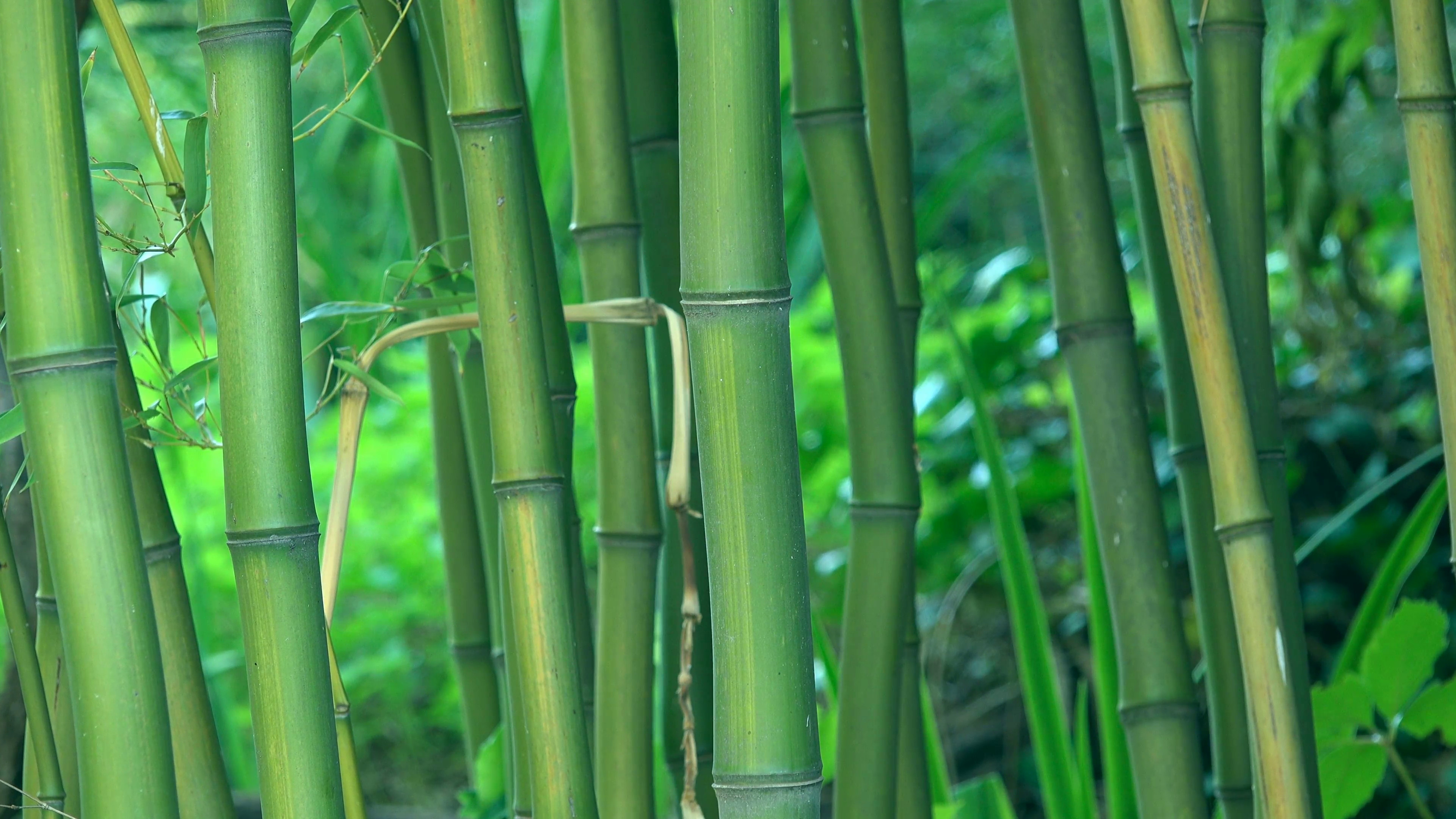 Green bamboo trees as background, bamboo forest detail, 4k uhd footage,  3840×2160, 2160p. Stock Video Footage – VideoBlocks