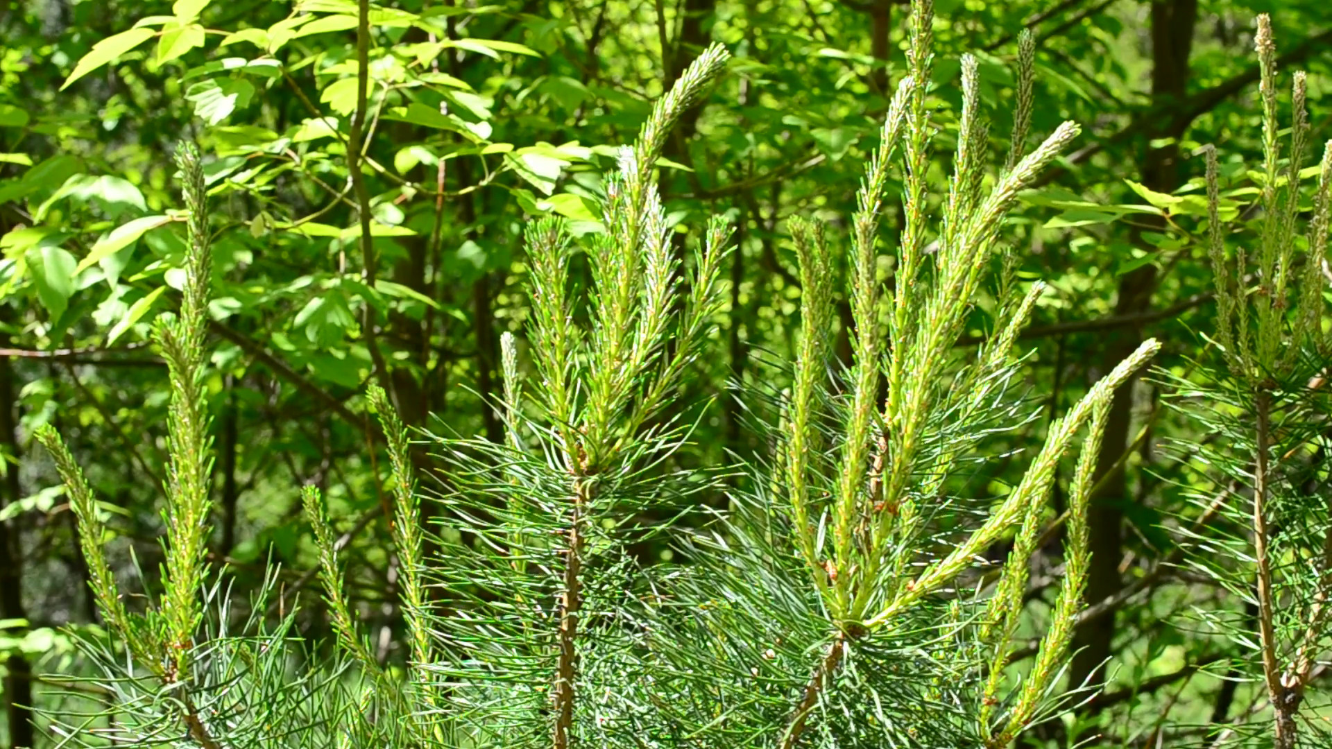 Lush pine tree branch with beautiful young fresh sprouts and needles gently  swaying blown by breeze in spring on green background in a mixed deciduous  and …