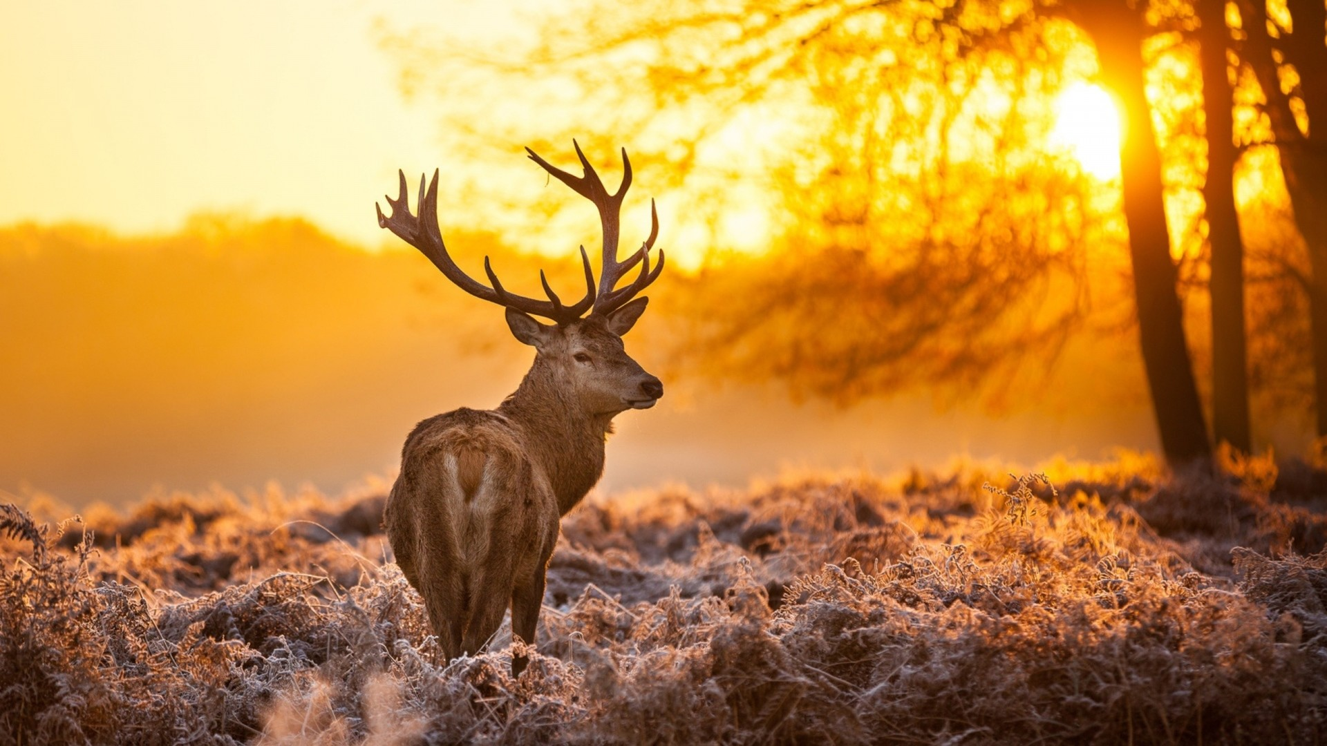Wallpaper deer, frost, grass, sunset, nature