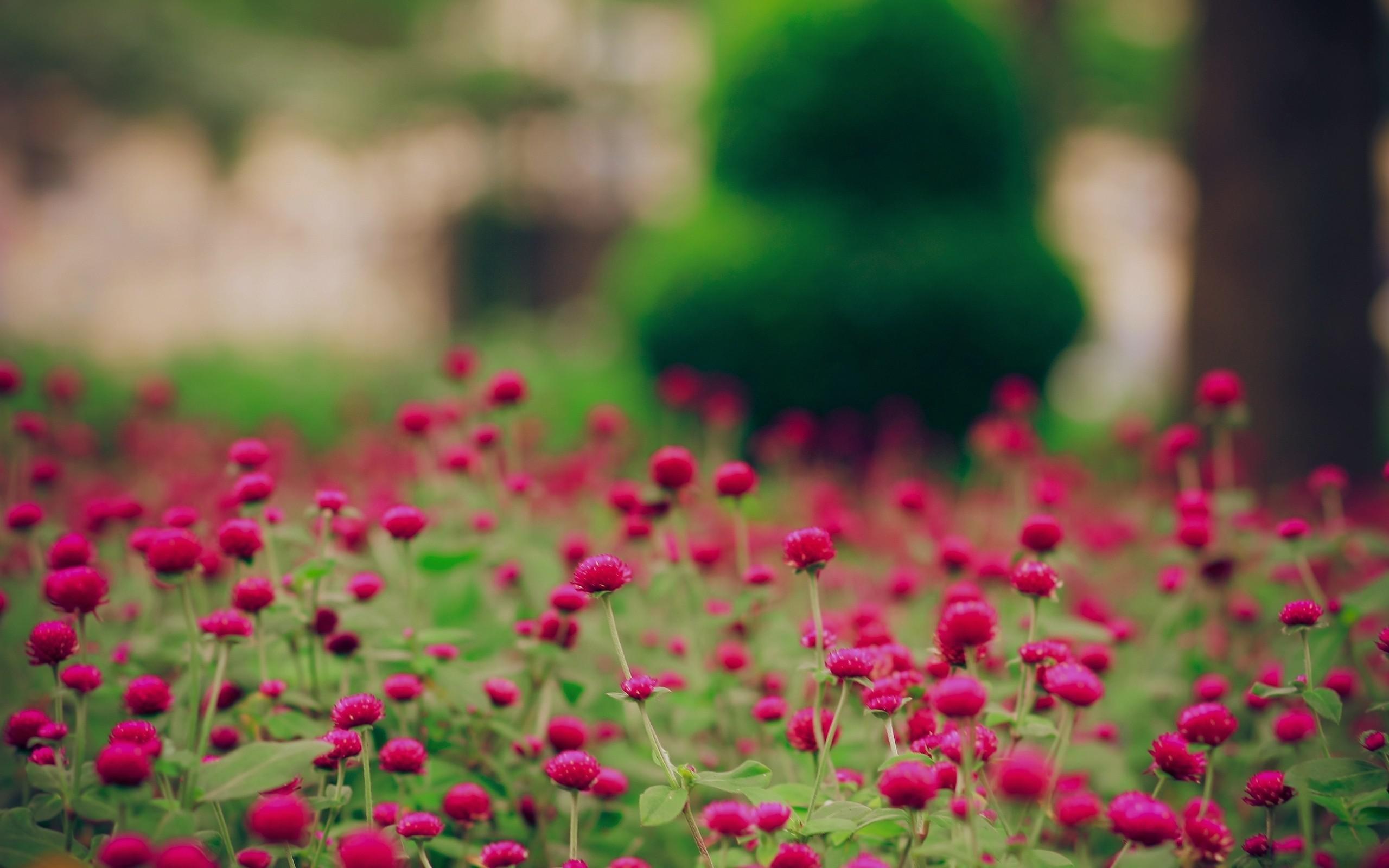 Download Spring Magenta Flowers Free Desktop Wallpaper