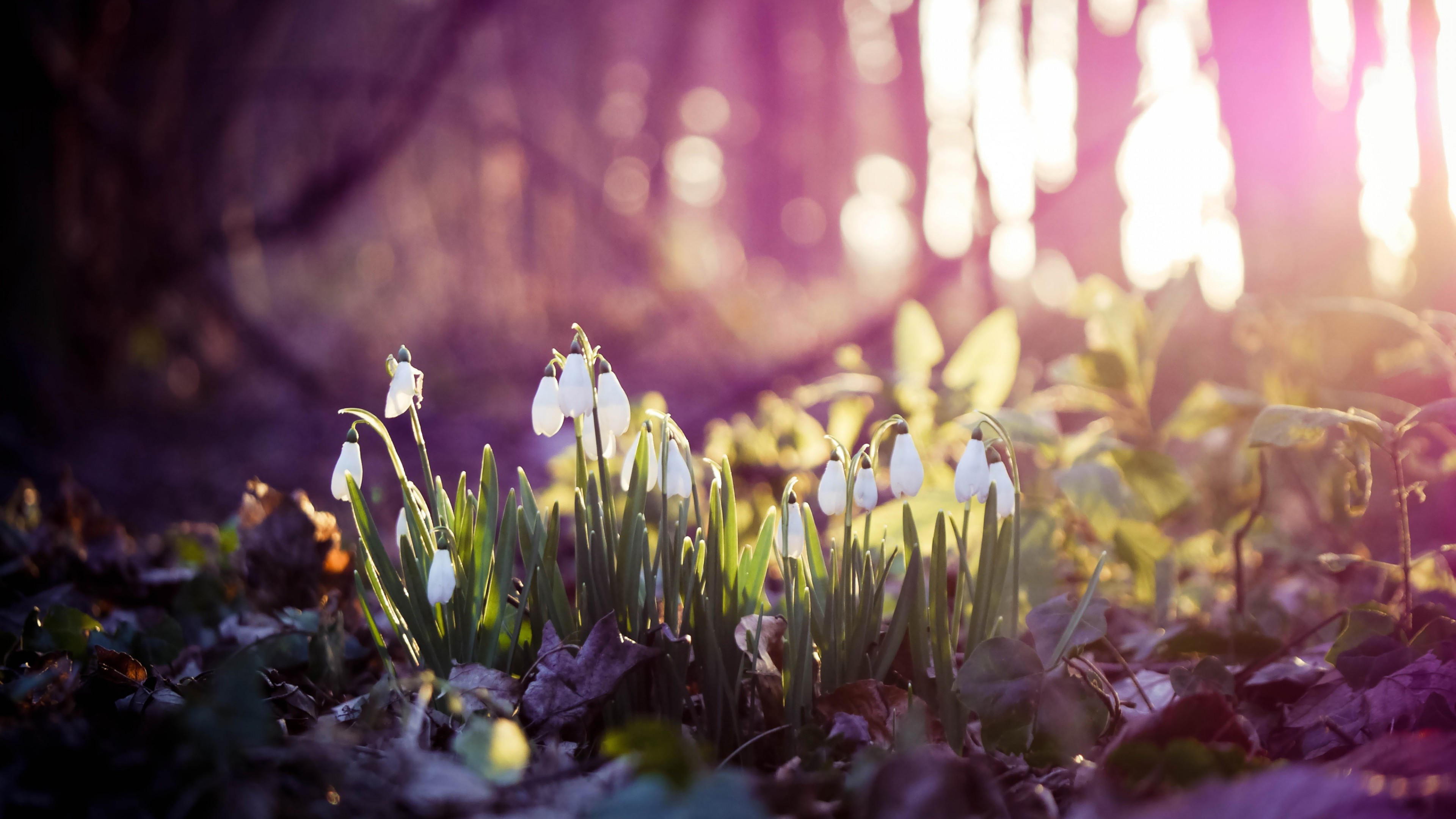 Preview wallpaper spring, snowdrops, flowers, wood, first 3840×2160