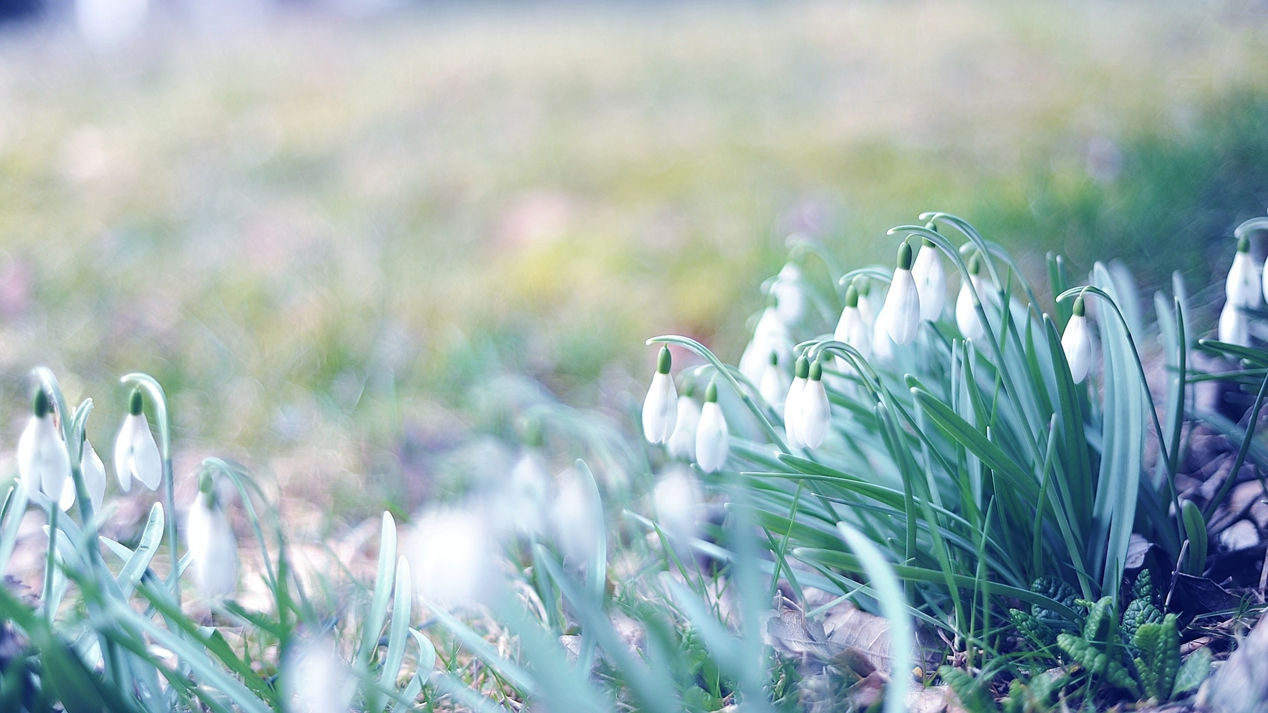 Preview wallpaper spring, snowdrops, grass, light, march 2560×1440