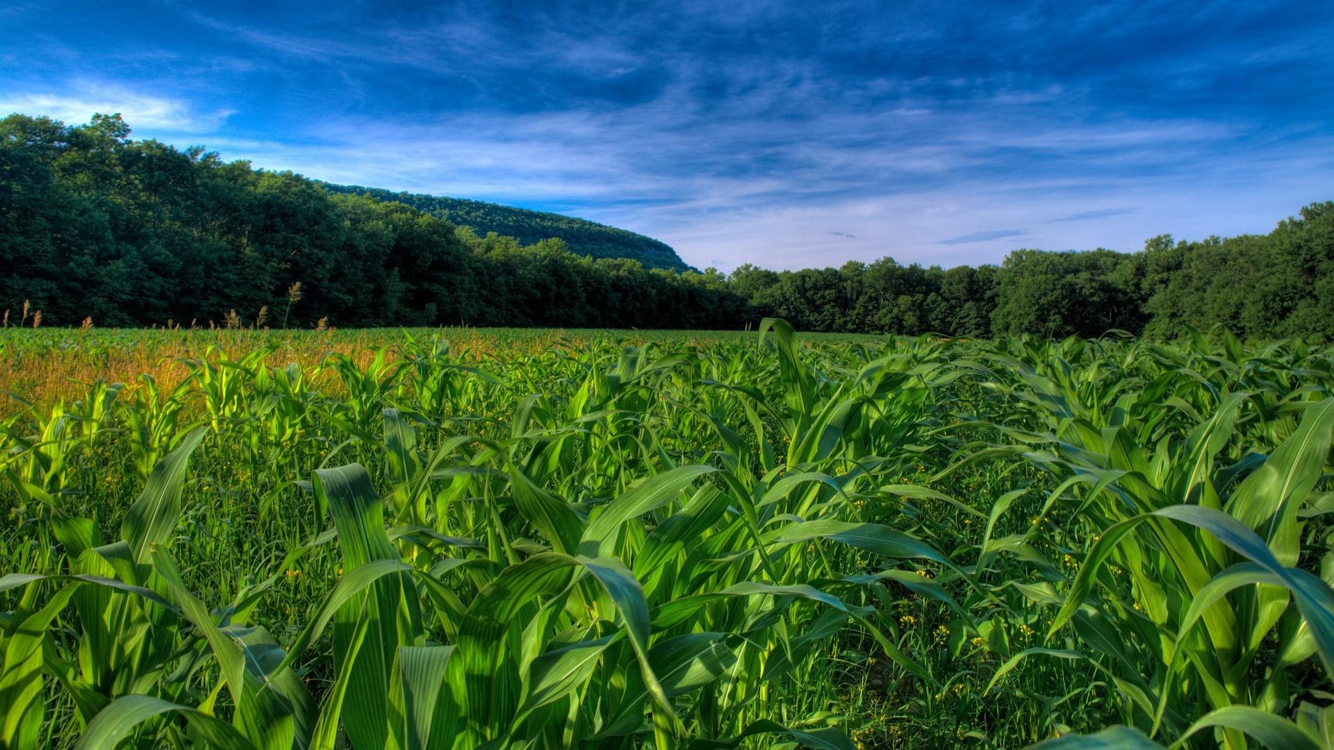 Corn Fields Wallpaper Plants Nature Wallpapers
