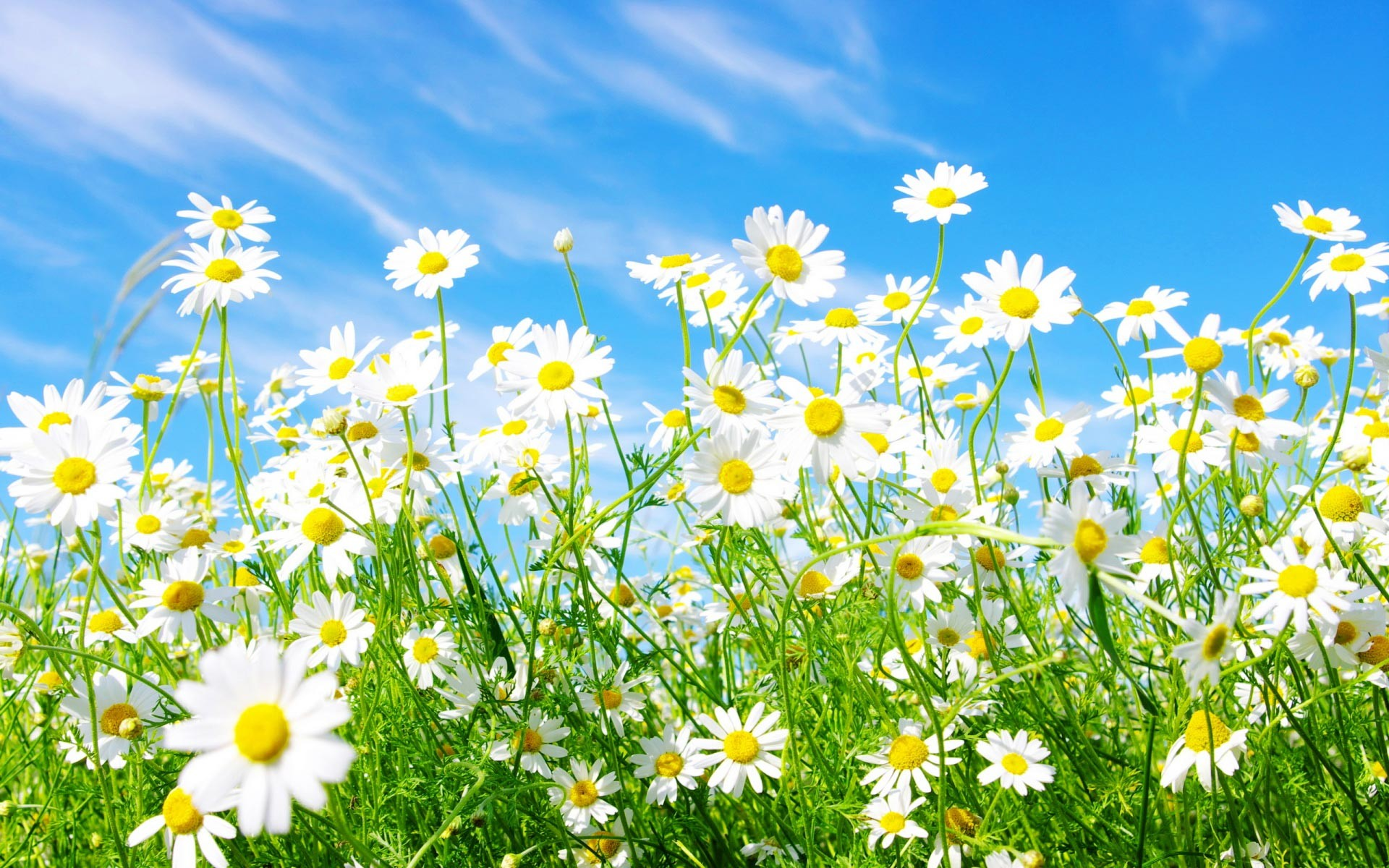 Spring Daisy Hd Widescreen Wallpapers.