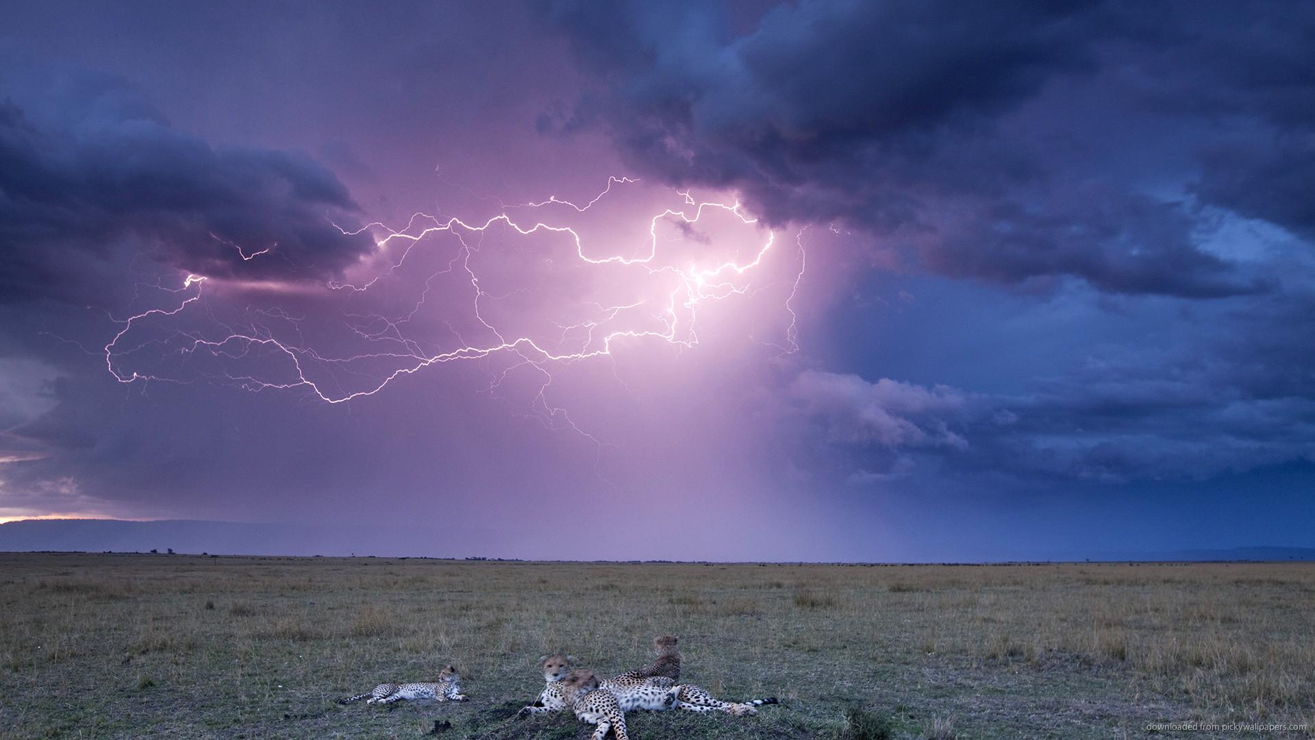 Download Leopards And Lightning Storm Wallpaper
