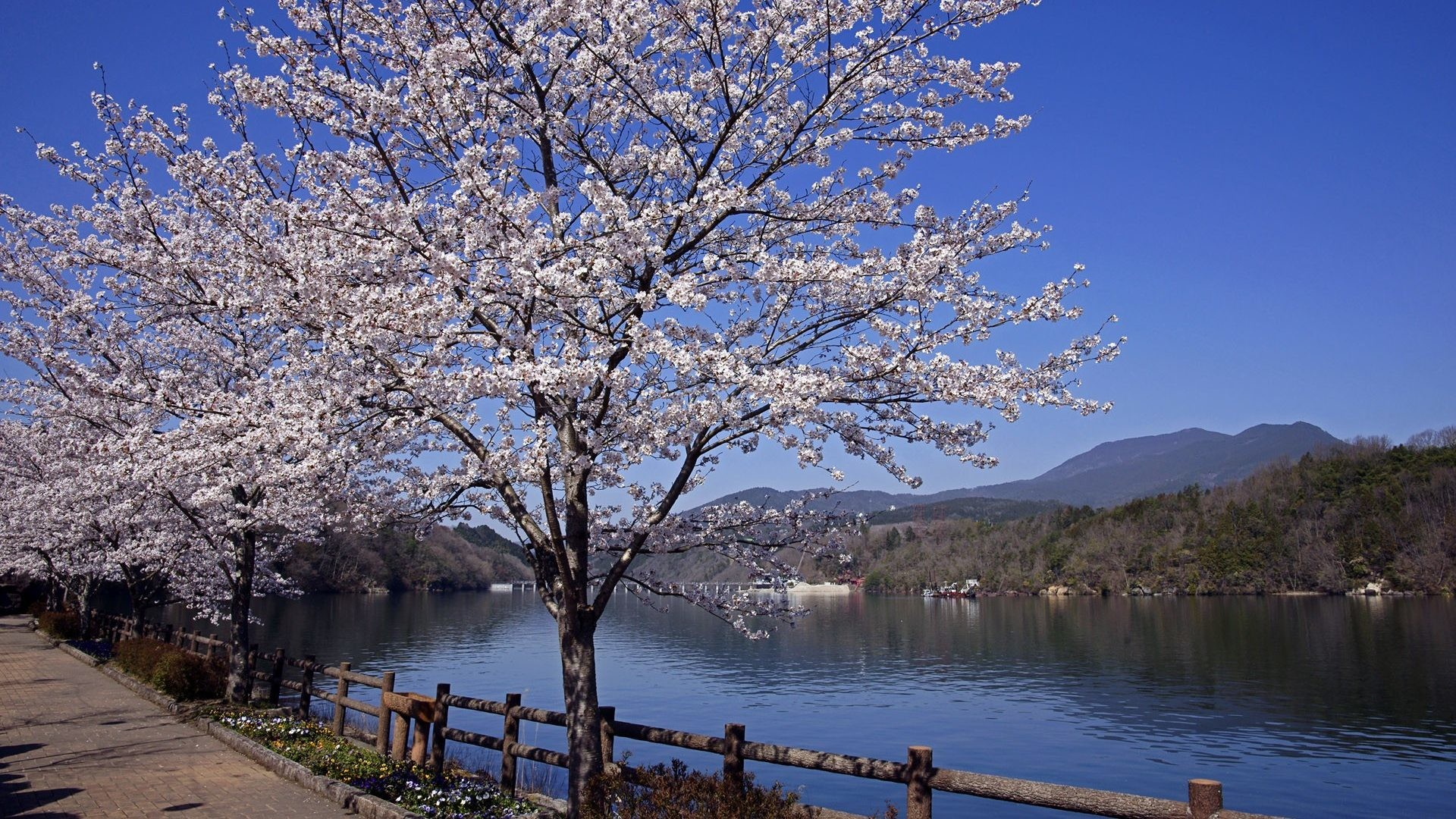 Cherry Blossoms Japanese Flowers Nature Zen Japan Landscape Free Desktop  Background – 1920×1200