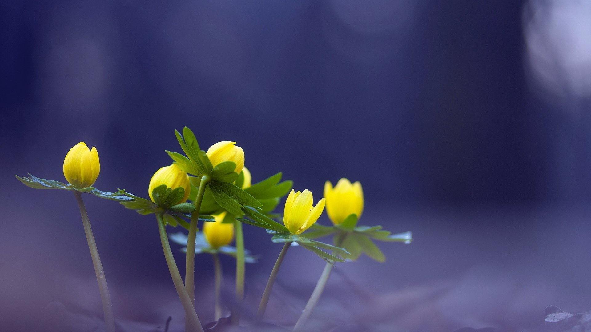 Bugs Eranthis Aconite Yellow Hyemalis Winter Flowers Nature 3d Desktop  Backgrounds – 1920×1200