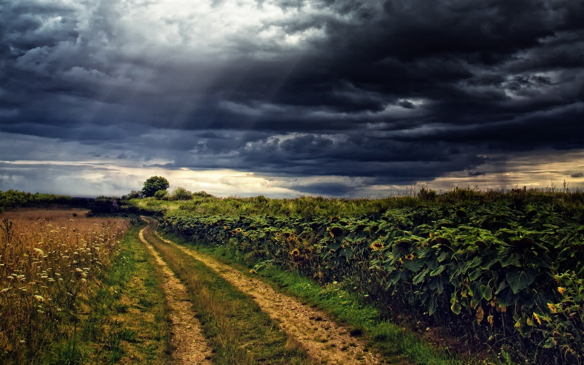 Sun Flowers Path Stormy Sky wallpapers and stock photos