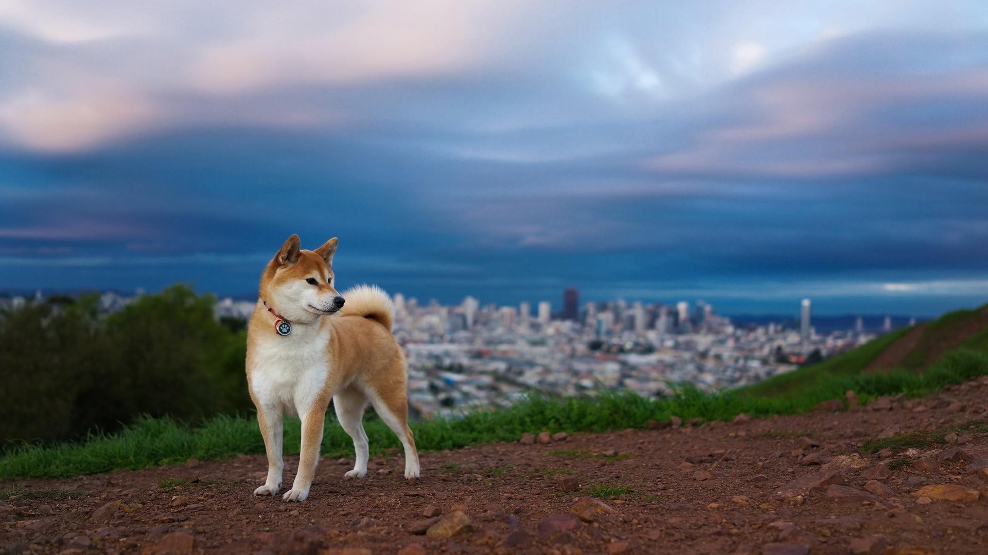 … akita inu, hill, dog