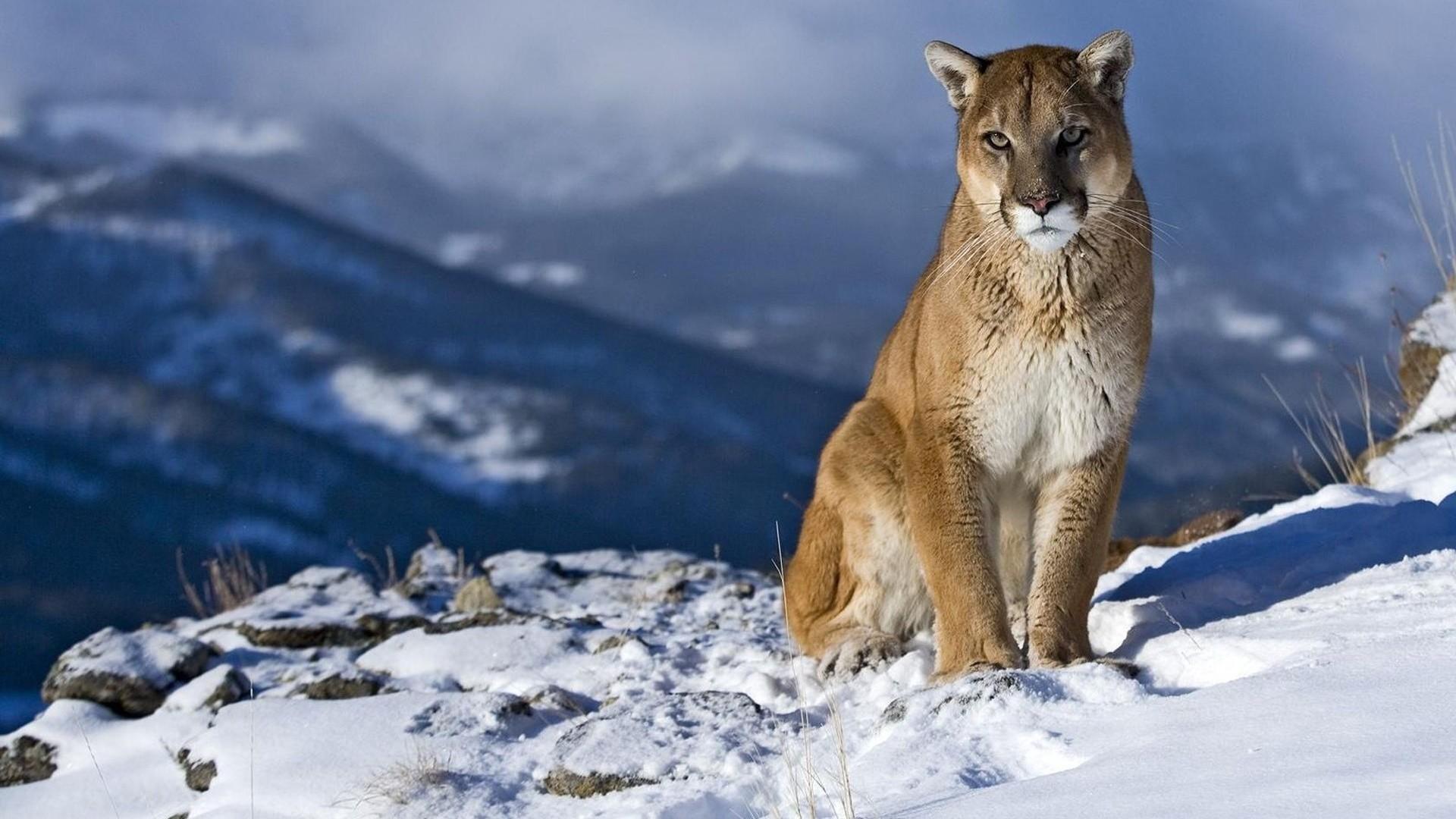 … Background Full HD 1080p. Wallpaper cougar, snow, mountain,  sit, pretty