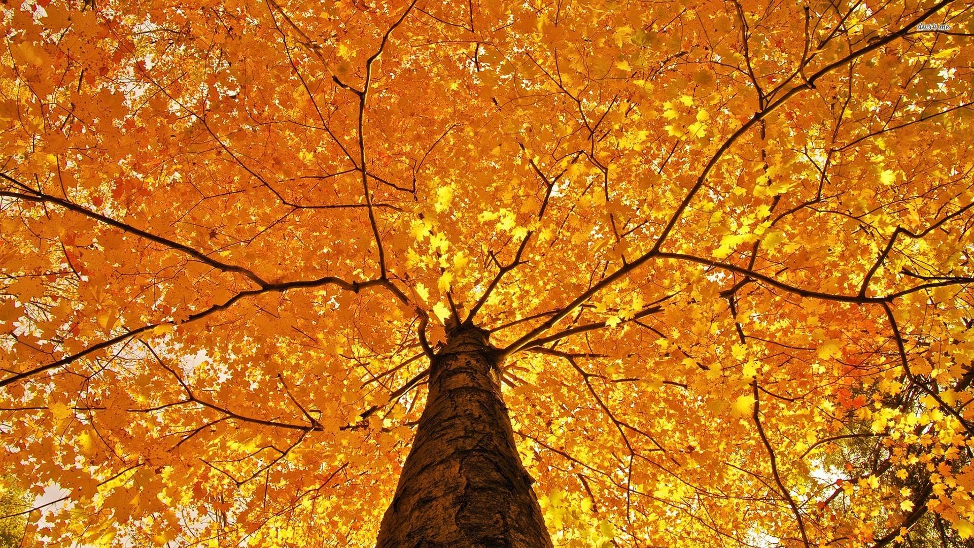 Autumn Tree HD wallpaper