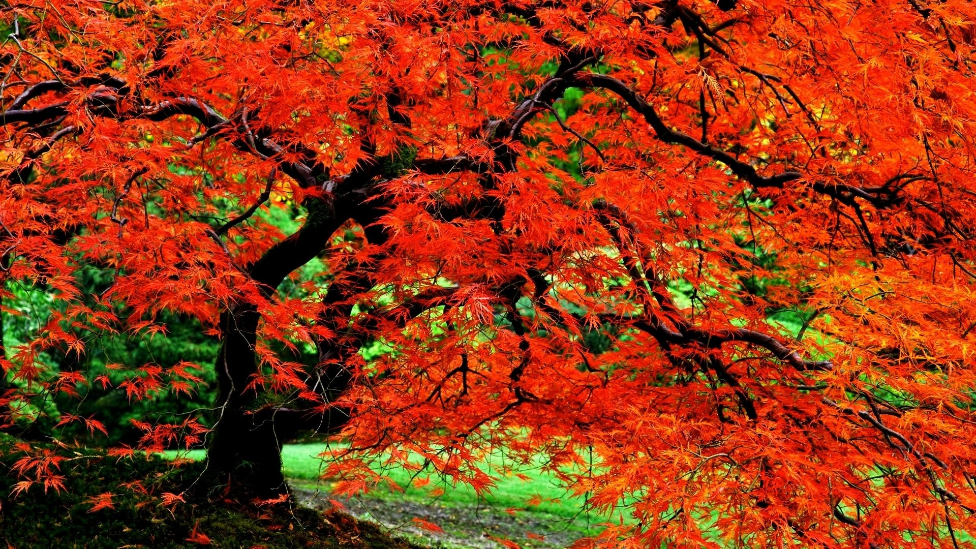 Earth – Tree Nature Fall Foliage Red Close-Up Leaf Garden Japanese Wallpaper