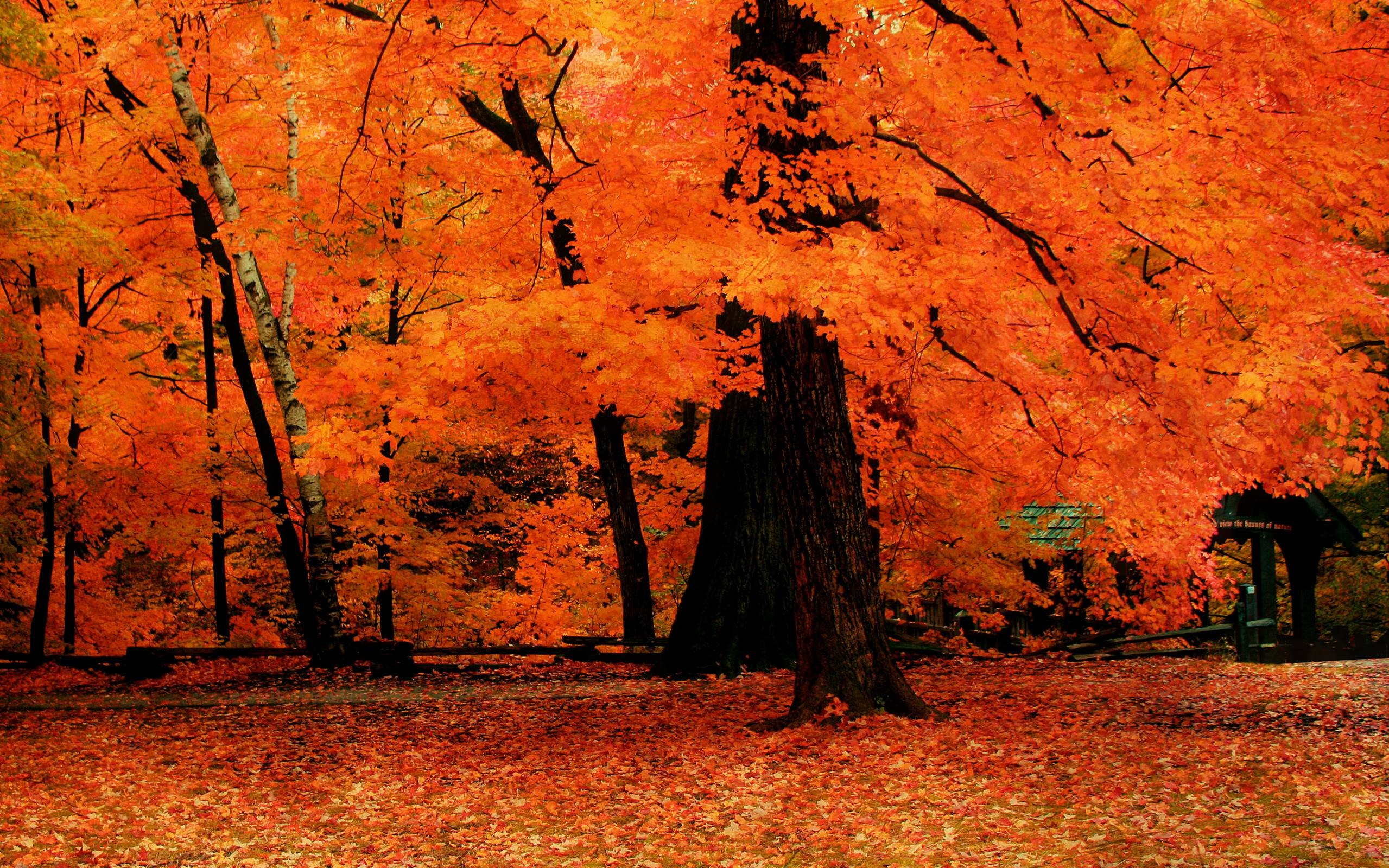 Wallpapers For > Autumn Red Tree Wallpaper