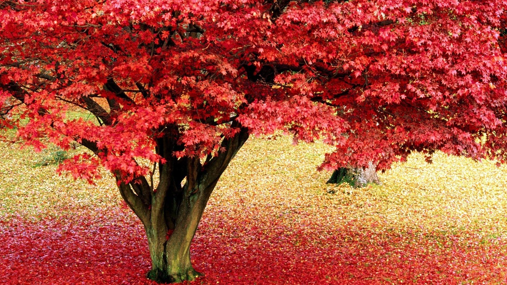 Autumn, tree, maple, wallpaper (#197306)
