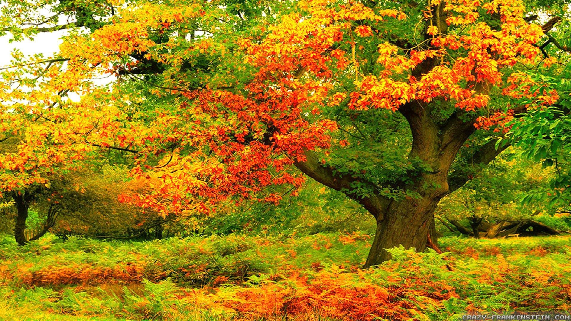 Wallpaper: Big colorful autumn tree wallpapers. Resolution: 1024×768    1280×1024   1600×1200. Widescreen Res: 1440×900   1680×1050   1920×1200