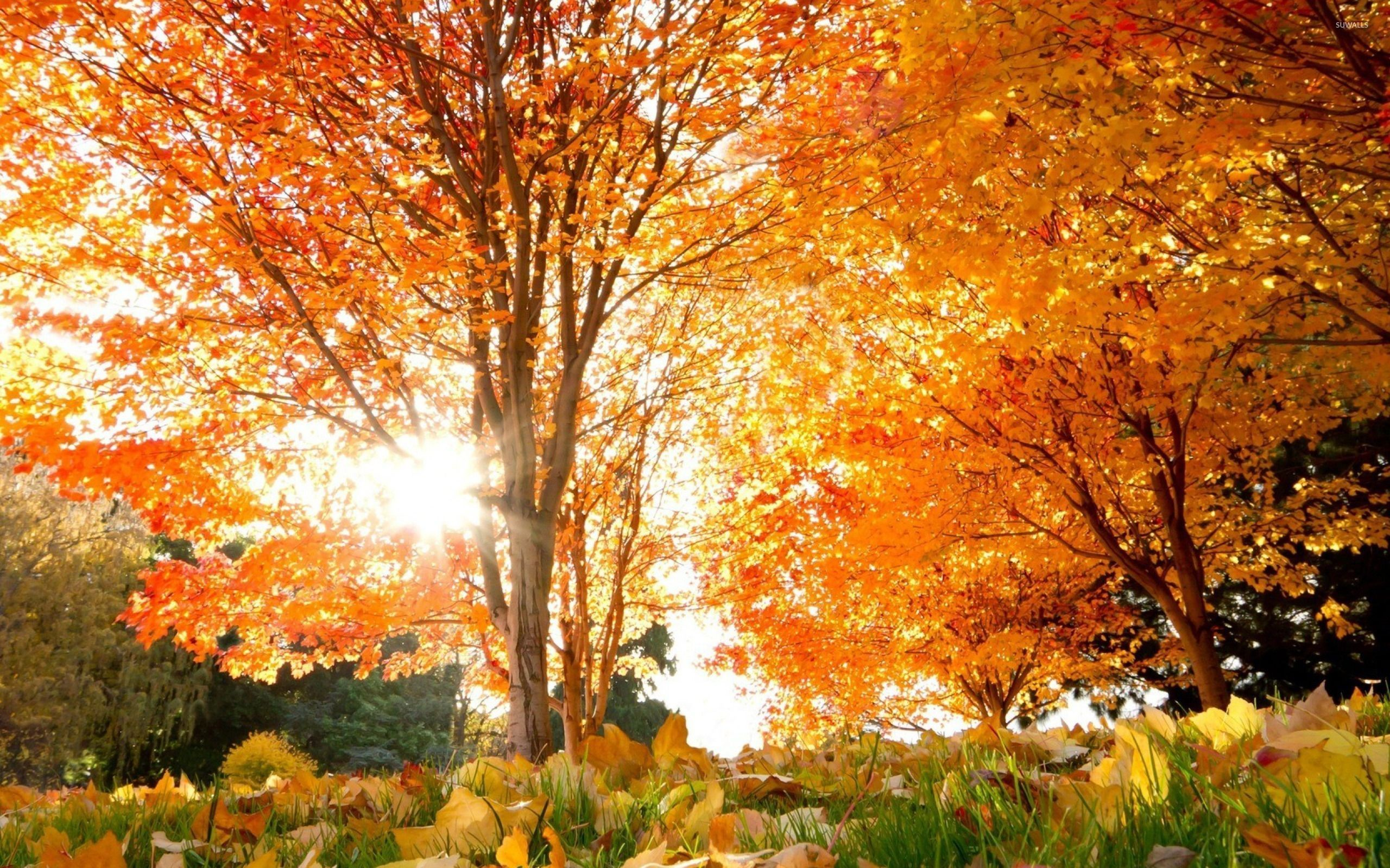 Sun light through autumn tree wallpaper