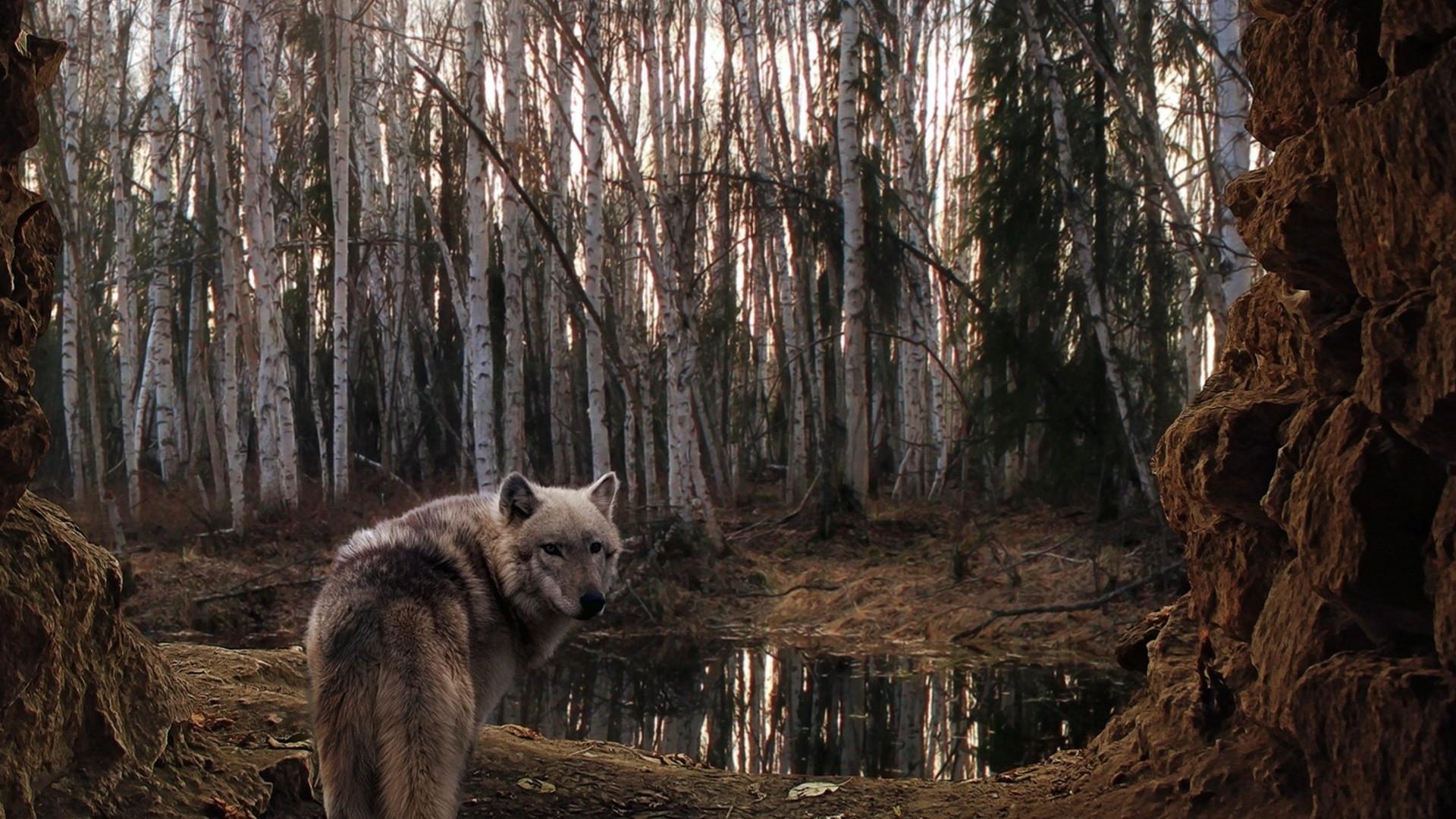 Wallpaper wolf, forest, trees, rain