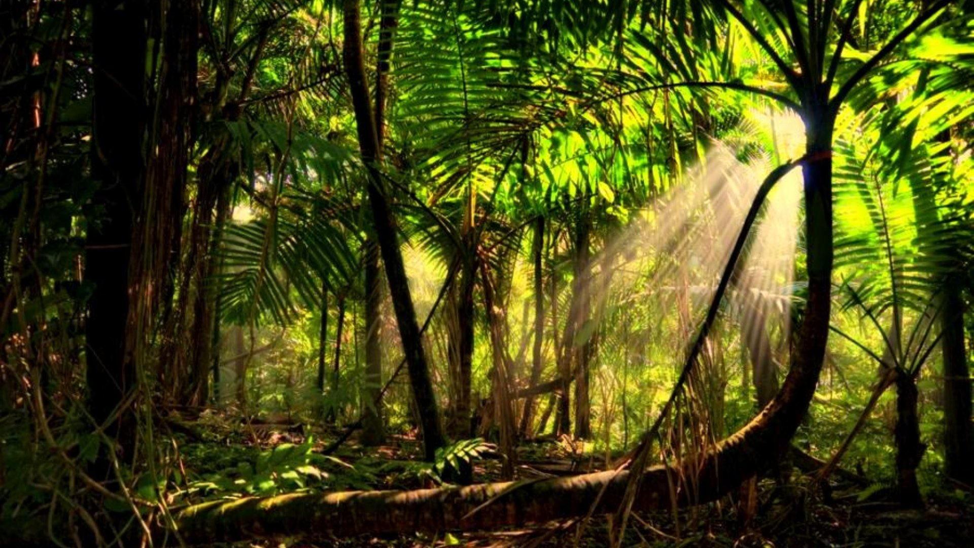 Forest Amazon Trees Rainforest Sun Mist Rays Amazonion Beams Beautiful  Wallpapers Hd – 1920×1280