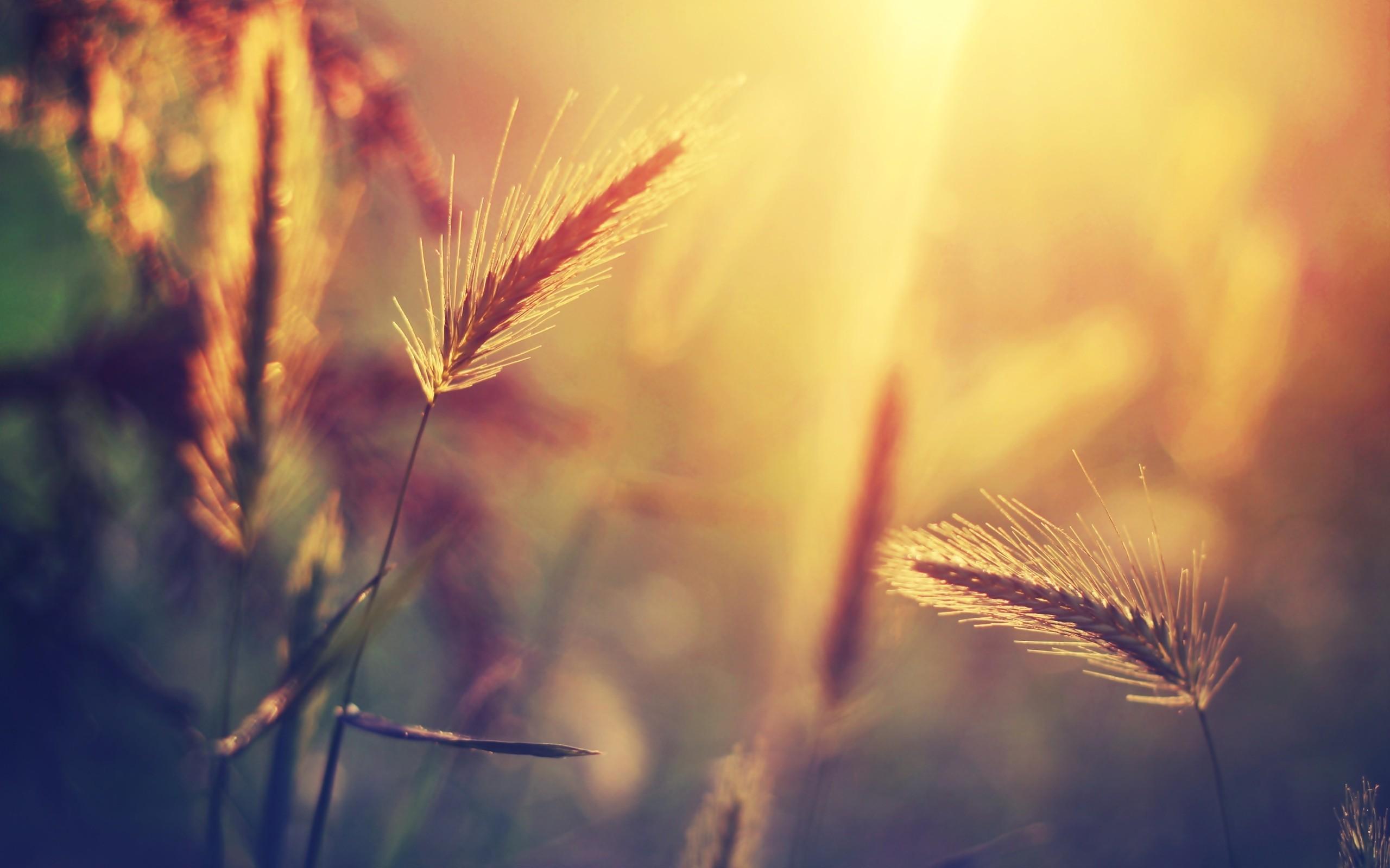 Macro Nature Summer Sunset Wheat