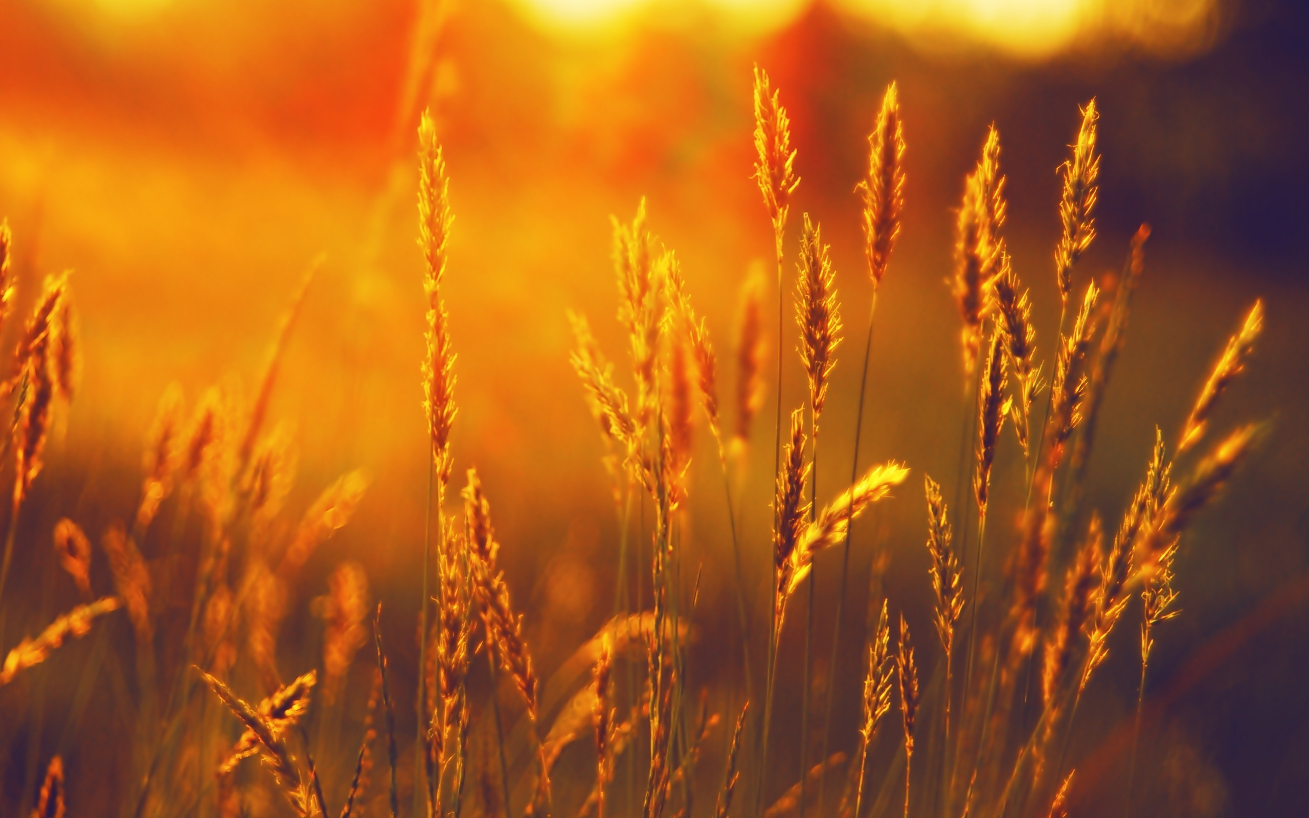 landscape, Summer, Field, Wheat, Sunset Wallpapers HD / Desktop and Mobile  Backgrounds