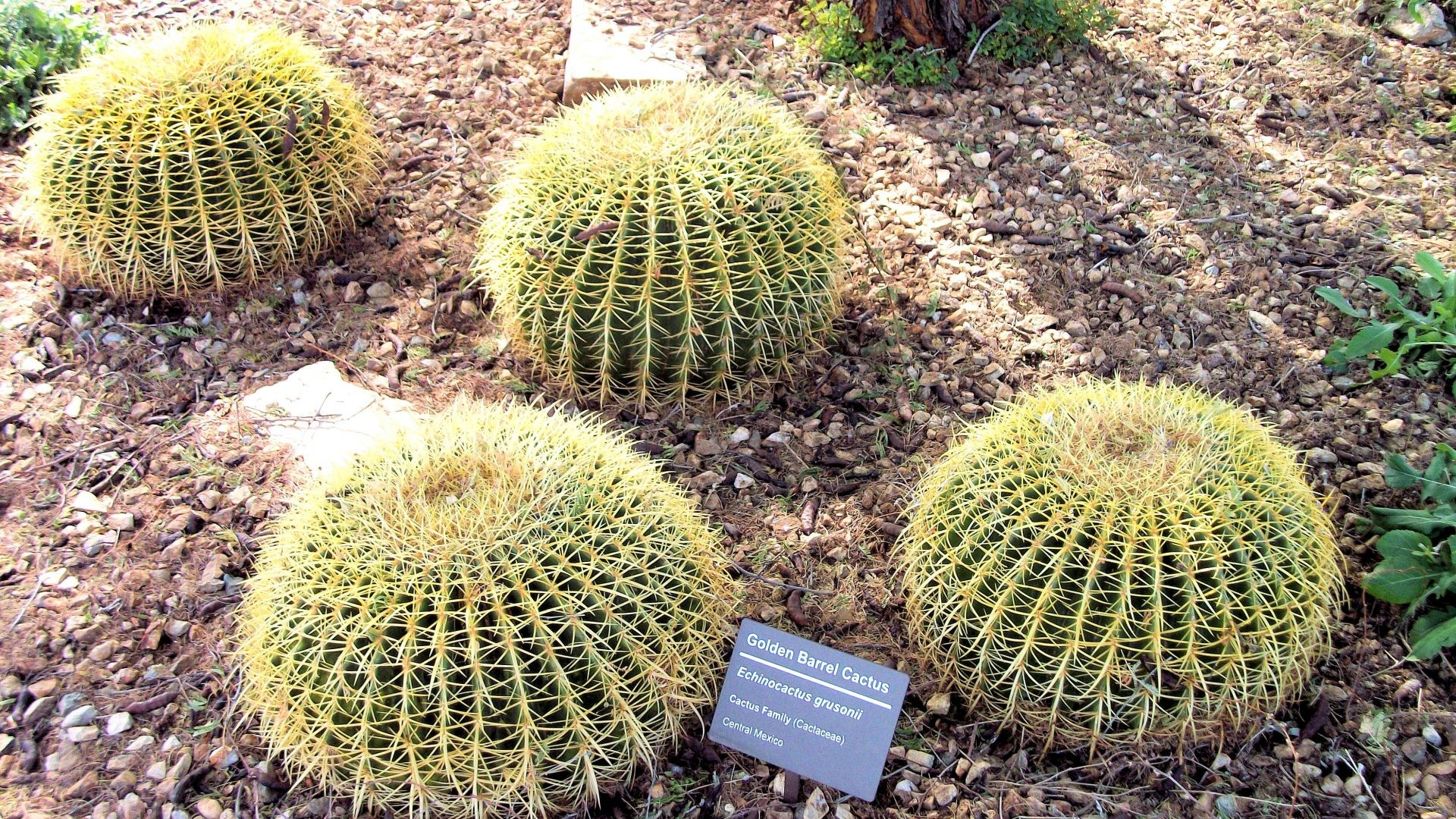 Desert – Golden Barrel Cactus Zgolden Arizona Desert Botanical Garden  Phoenix Papago Park Pictures For Desktop