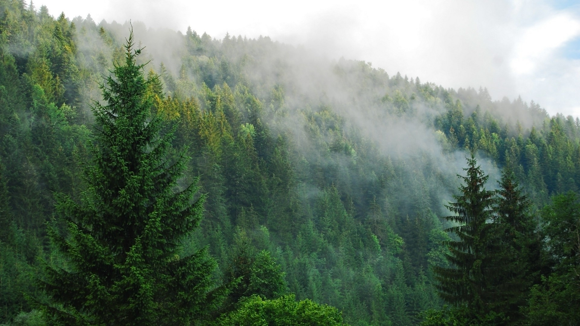 Foggy Pine Forest Wallpaper Pictures 13879