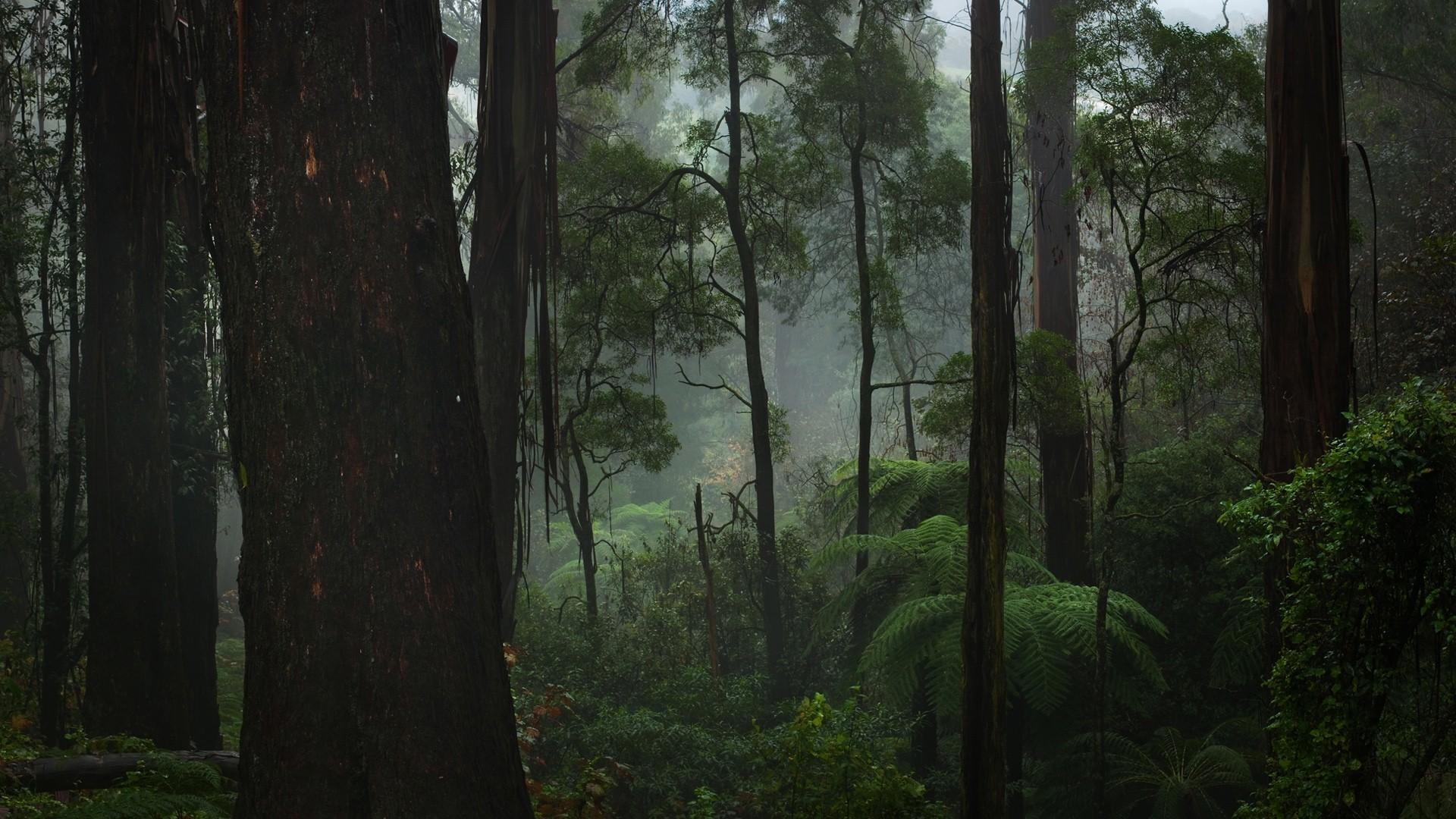 Forest Fog Wal.