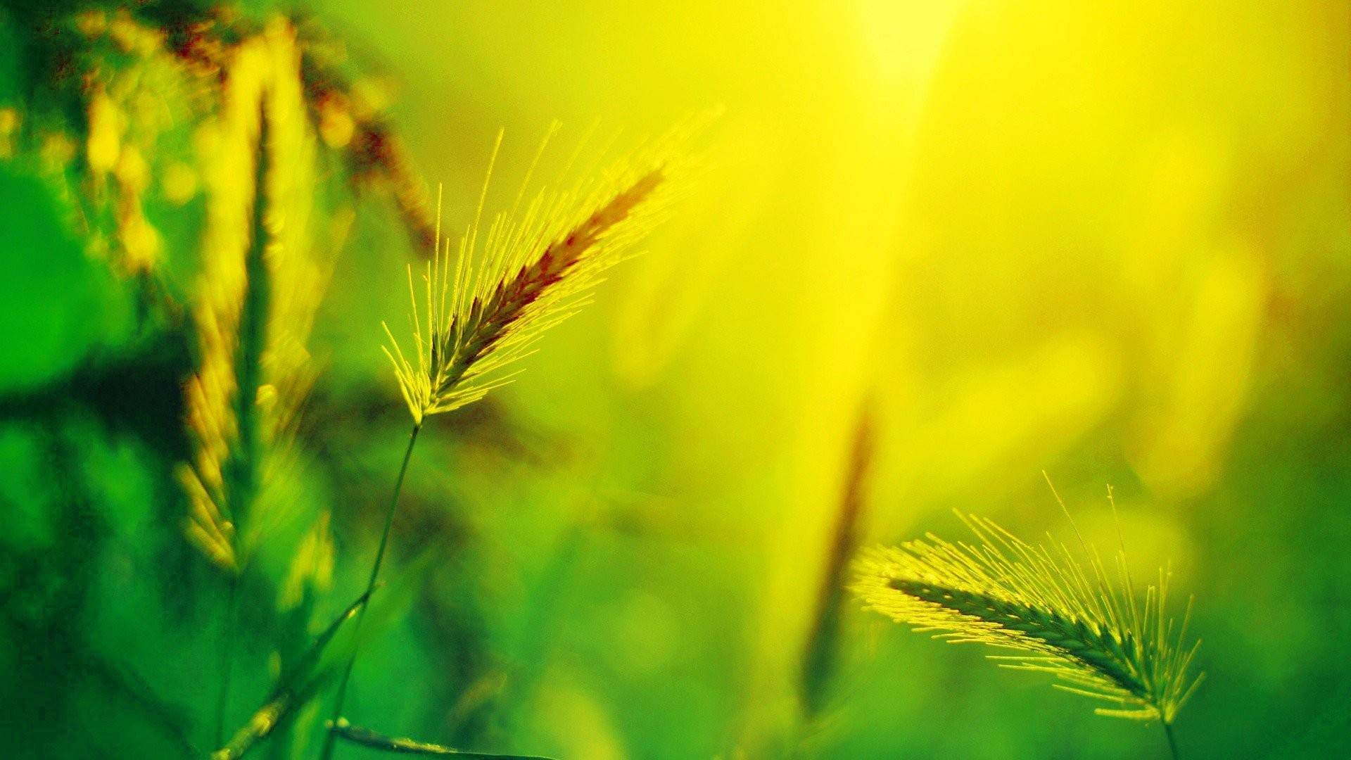 Grain Tag – Summer Grain Nature Wallpaper For Smartphone for HD 16:9 High  Definition