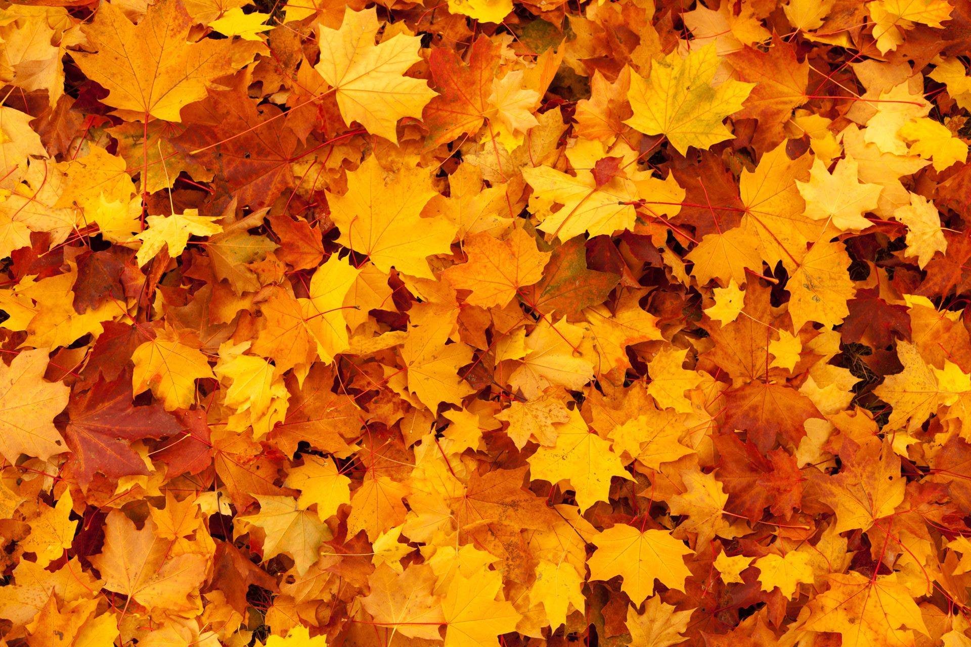 Maple Leaves Background Free Stock Photo HD – Public Domain Pictures