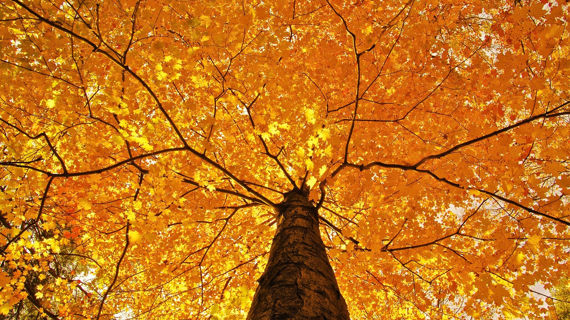 General nature trees leaves branch fall maple leaves yellow  worm's eye view