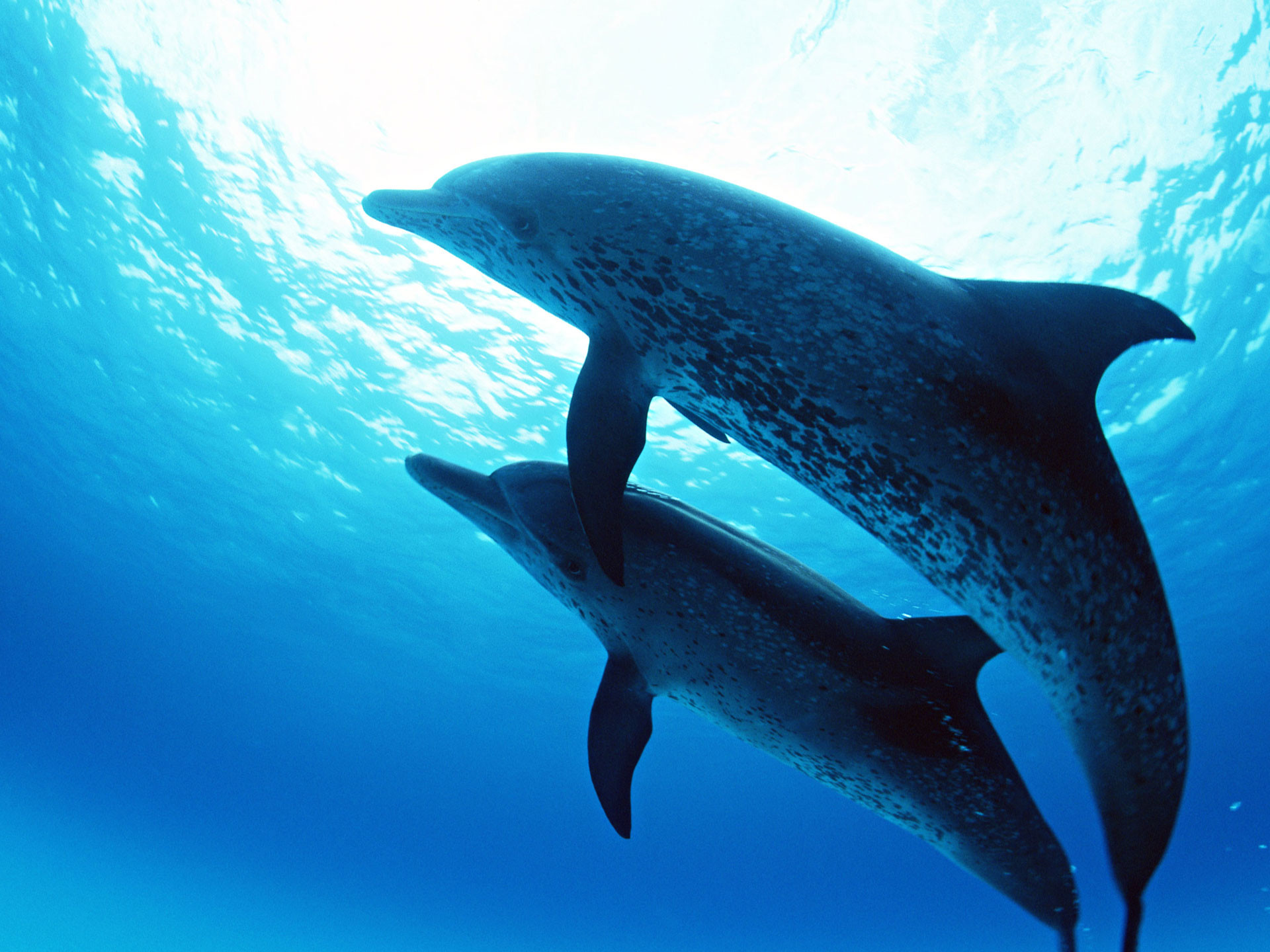 Dophin Couple Under Sea Searching for Food HD Wallpaper. Dolphins  AnimalOcean …