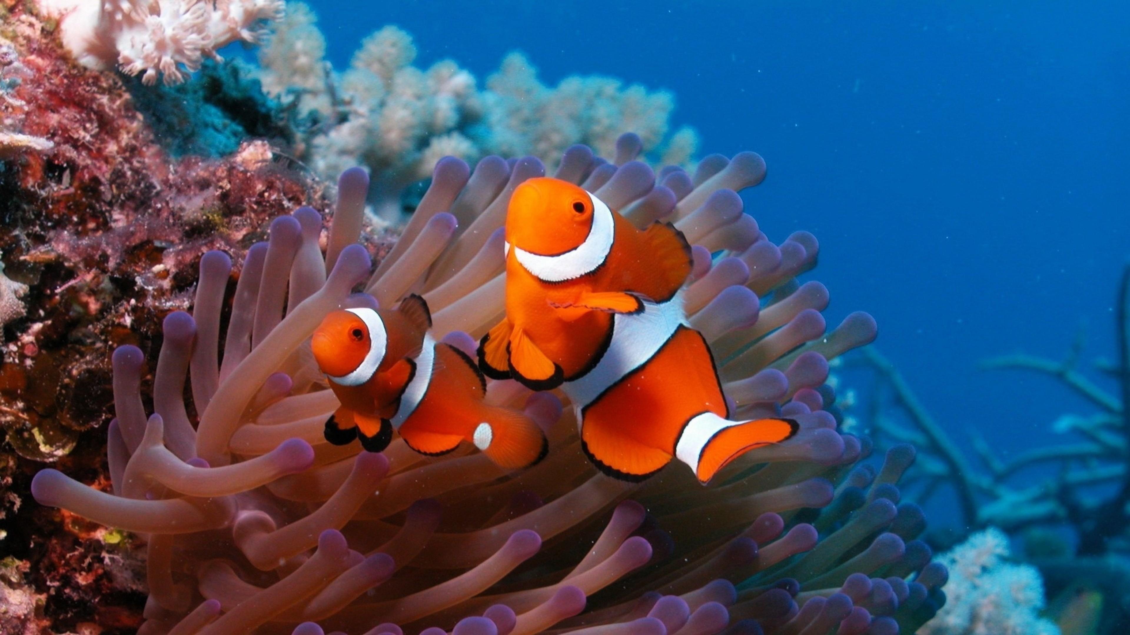 Preview wallpaper sea, reef, coral, fish, sea anemones, clown 3840×2160