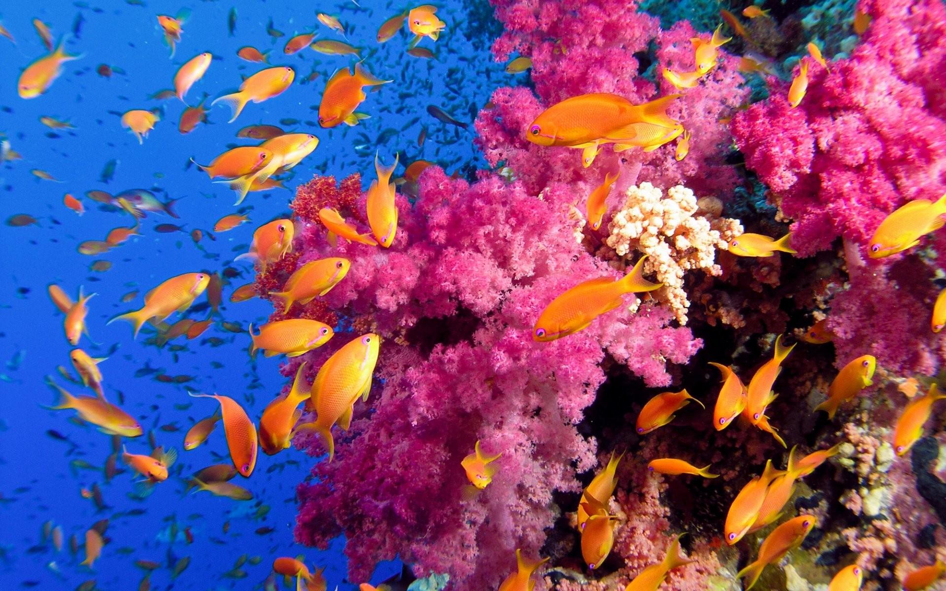 Underwater-colorful-coral-reef-wallpapers ~ Coral Reef Desktop Wallpaper:  Coral