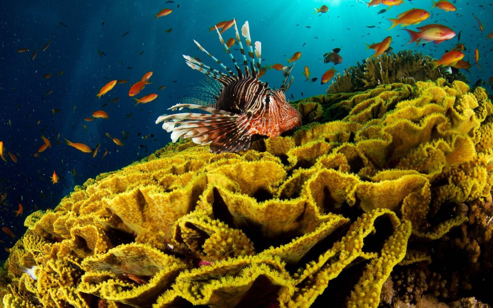 Lion Fish Ocean Wallpaper HD.