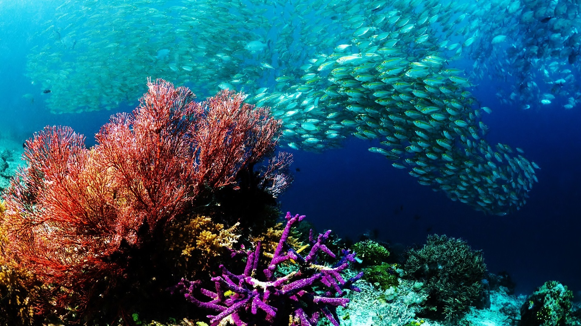14 HD Coral Desktop Wallpapers For Free Download