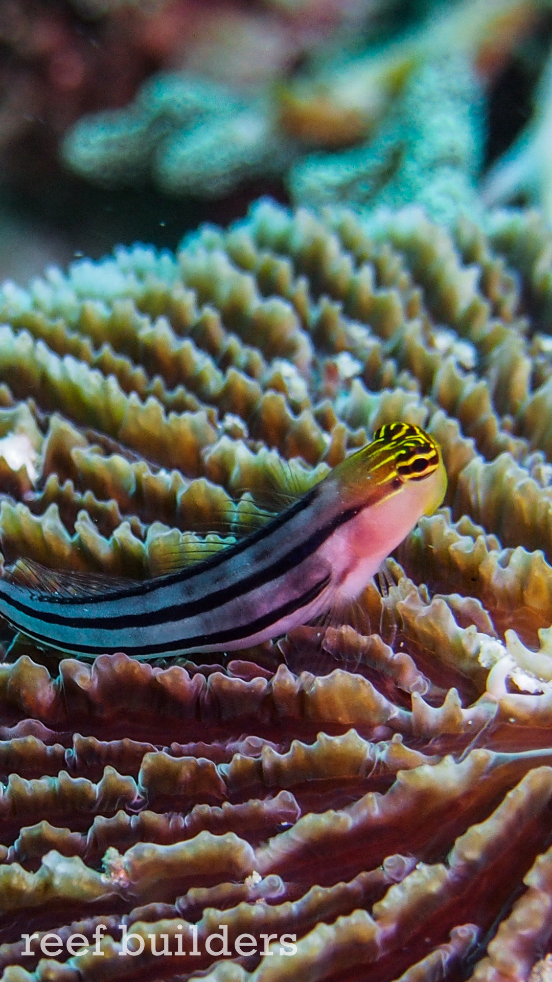 … iphone6-plus-coral-reef-fish-wallpaper-background-8 …