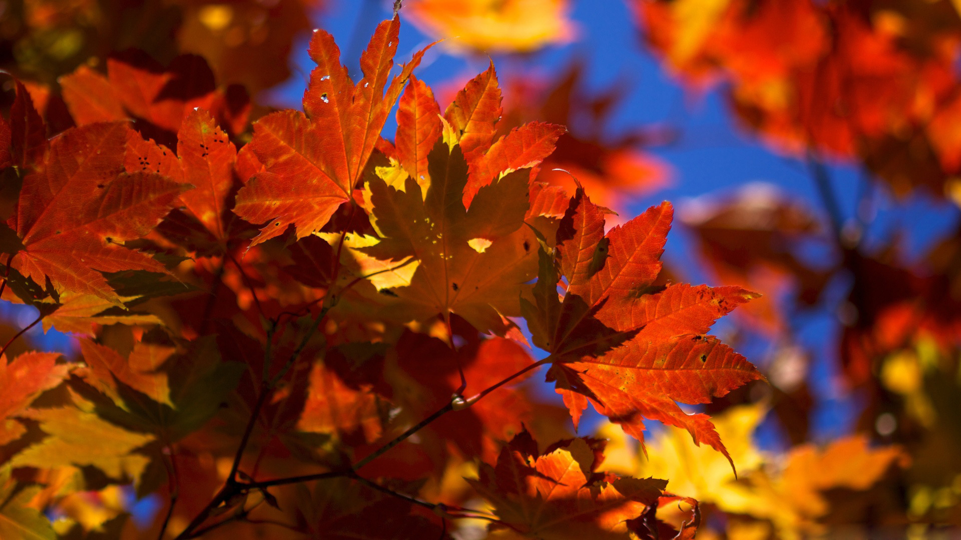Pictures Fall leaves desktop wallpapers.