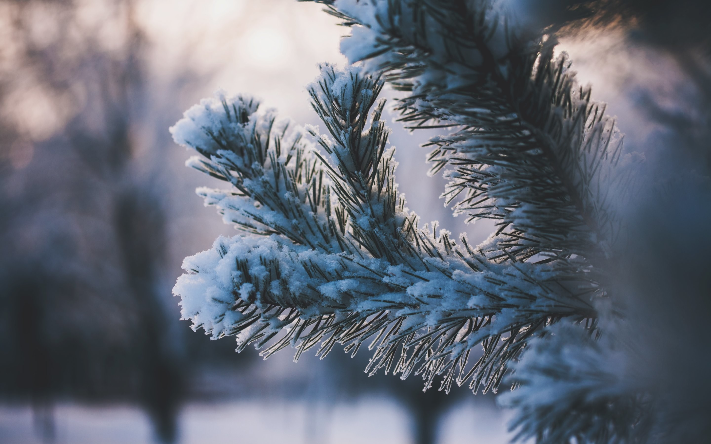 4K HD Wallpaper: Pine Needles covered with Snow · Pictures from Winter by  Maria