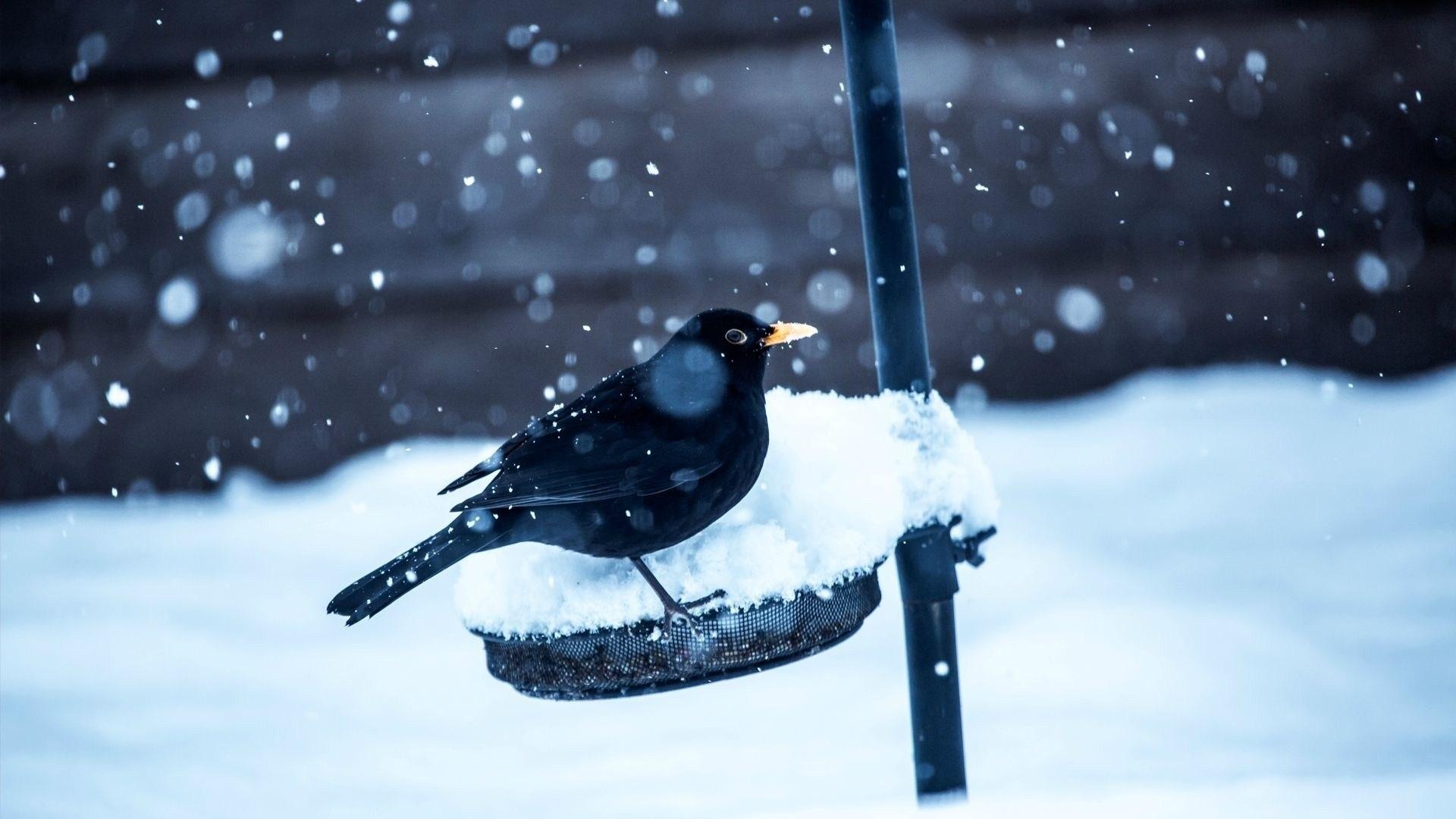 Wallpaper birds, crow, snow, winter