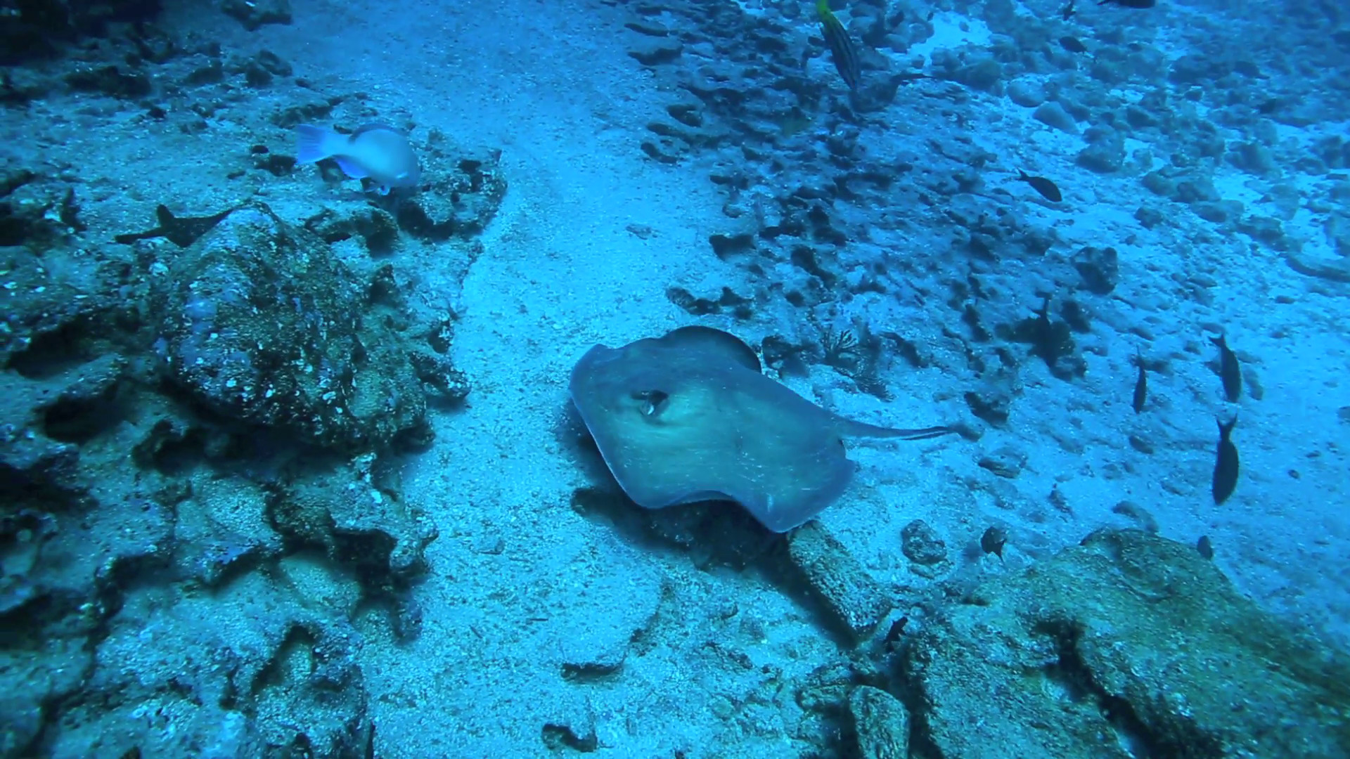 Stingray swimming underwater along the ocean floor in the Galapagos Islands  Stock Video Footage – VideoBlocks