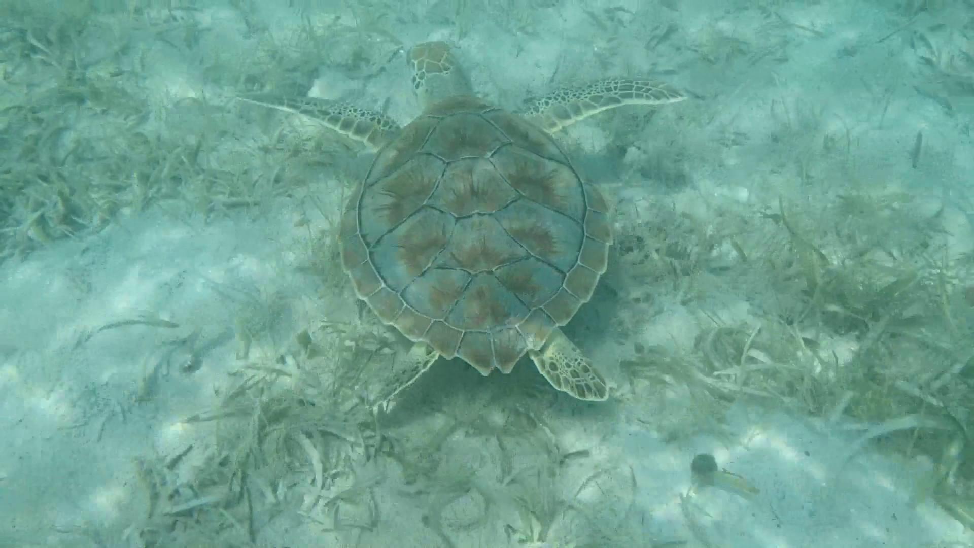 Sea Turtle Swimming Over Sea Grass on the Ocean Floor Stock Video Footage –  VideoBlocks