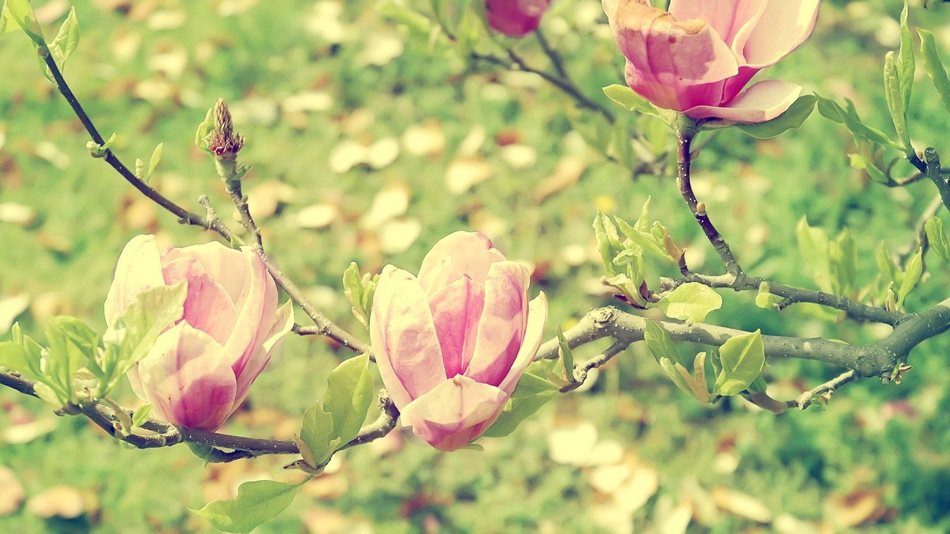 Spring Tag – Spring Garden Blossom Flowering Blur Macro Magnolia Light  Branch Beautiful Nature Wallpaper Full