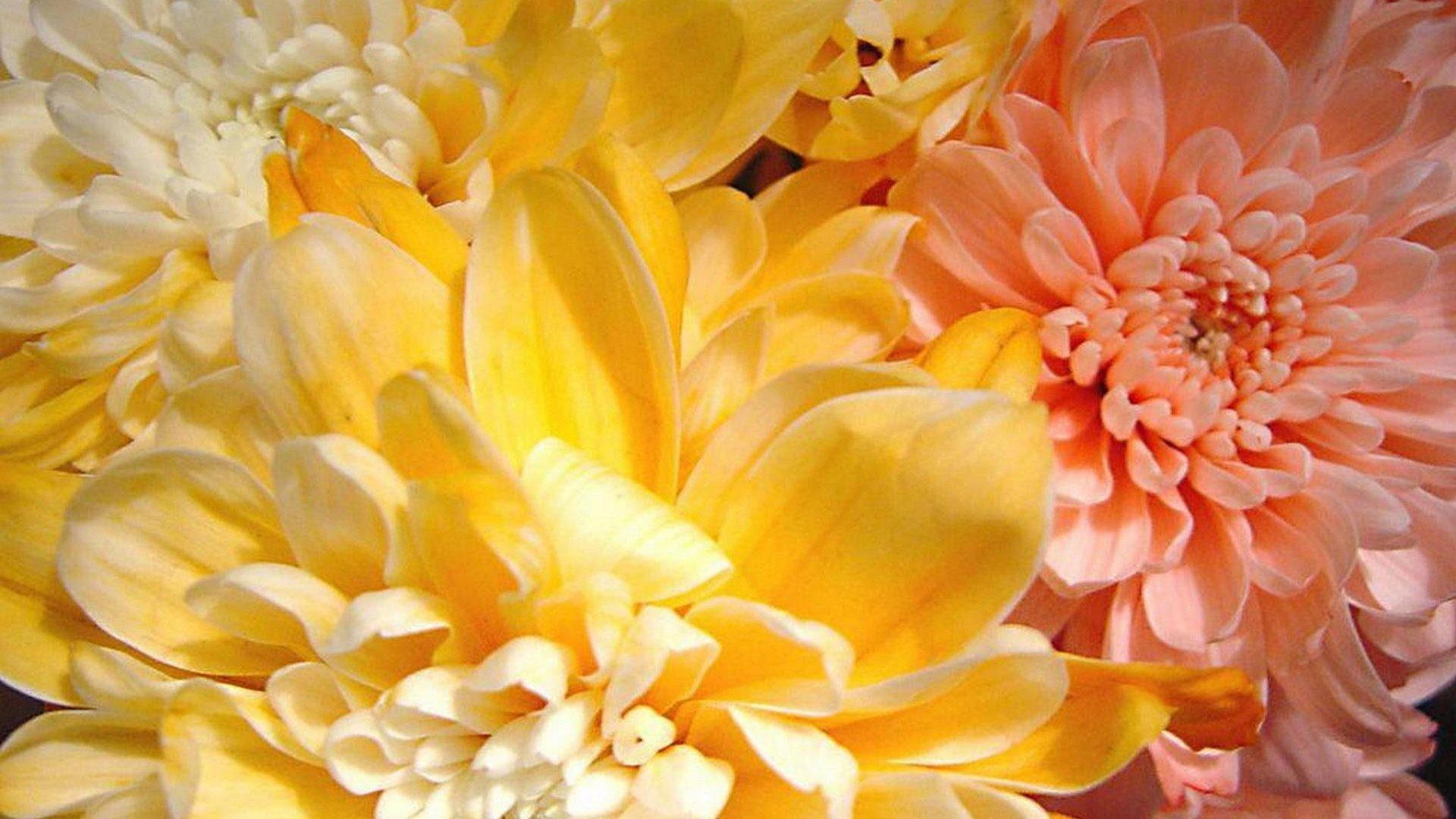 Flowers – Plants Beautiful Colorful Flower Garden Soft Flowers Spring  Delicate Nature Petals Wallpaper Pc Hd