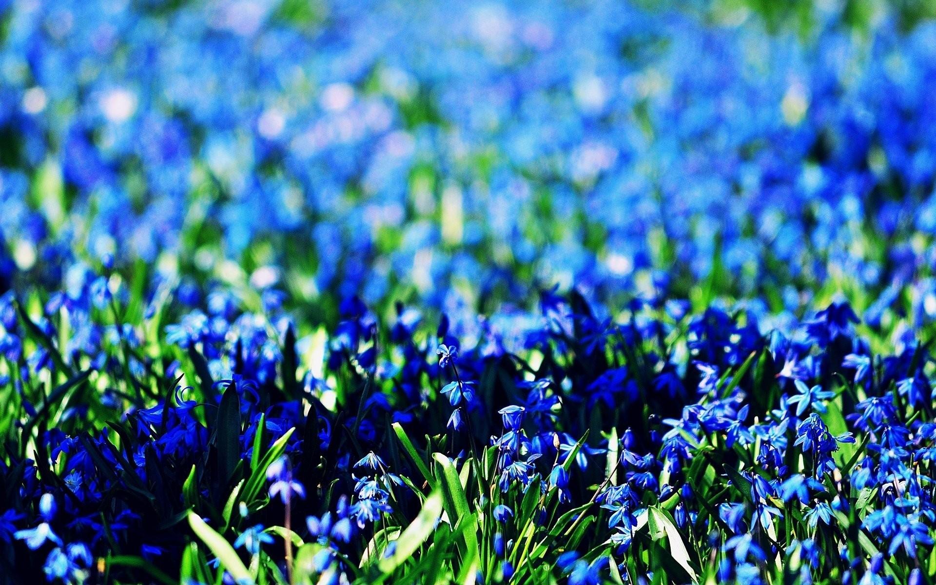 flower flowers blue blue the field background flowers blue wallpaper  widescreen full screen widescreen hd wallpapers