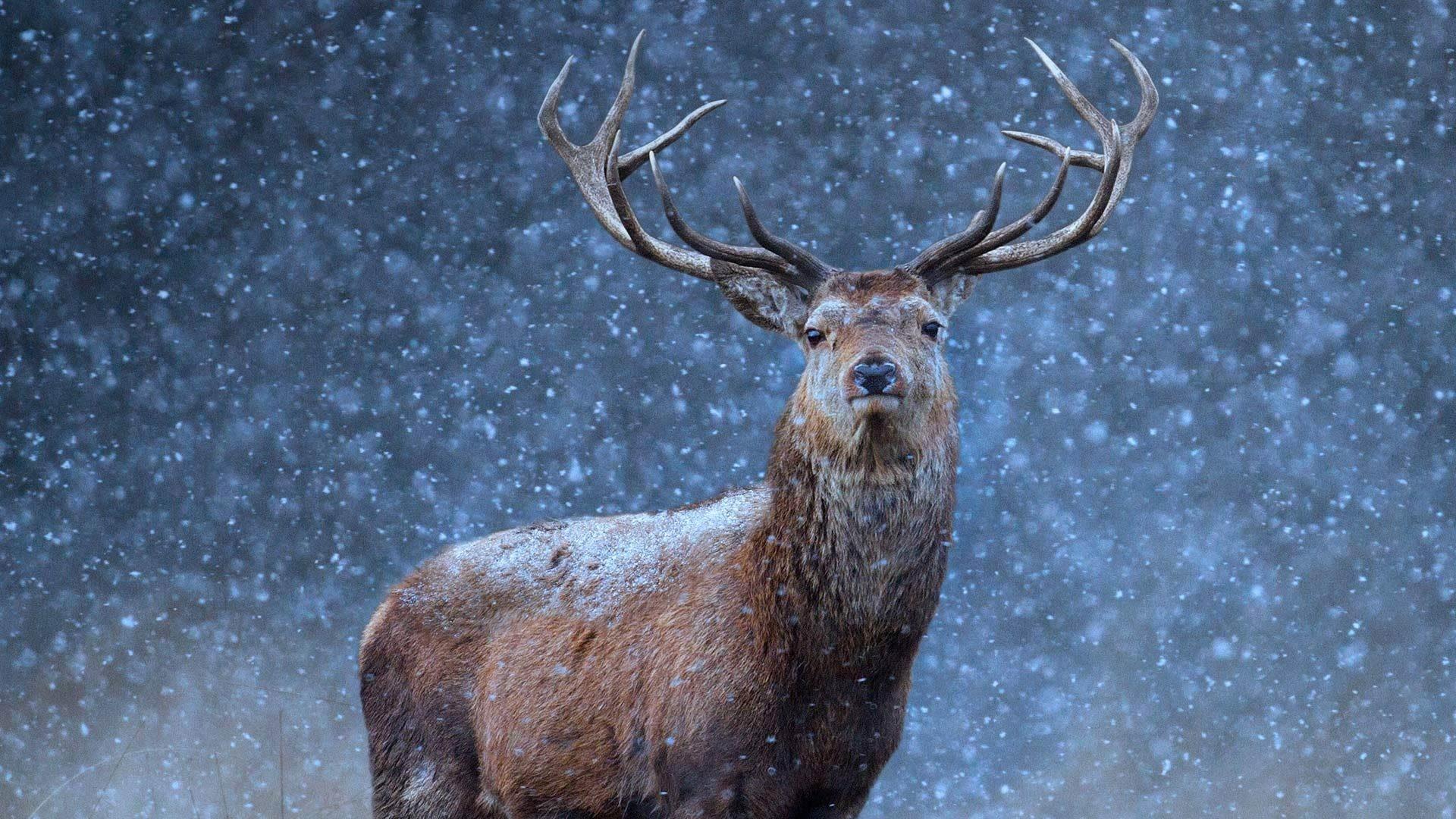 Image: Beautiful Deer in Snow Desktop Wallpaper